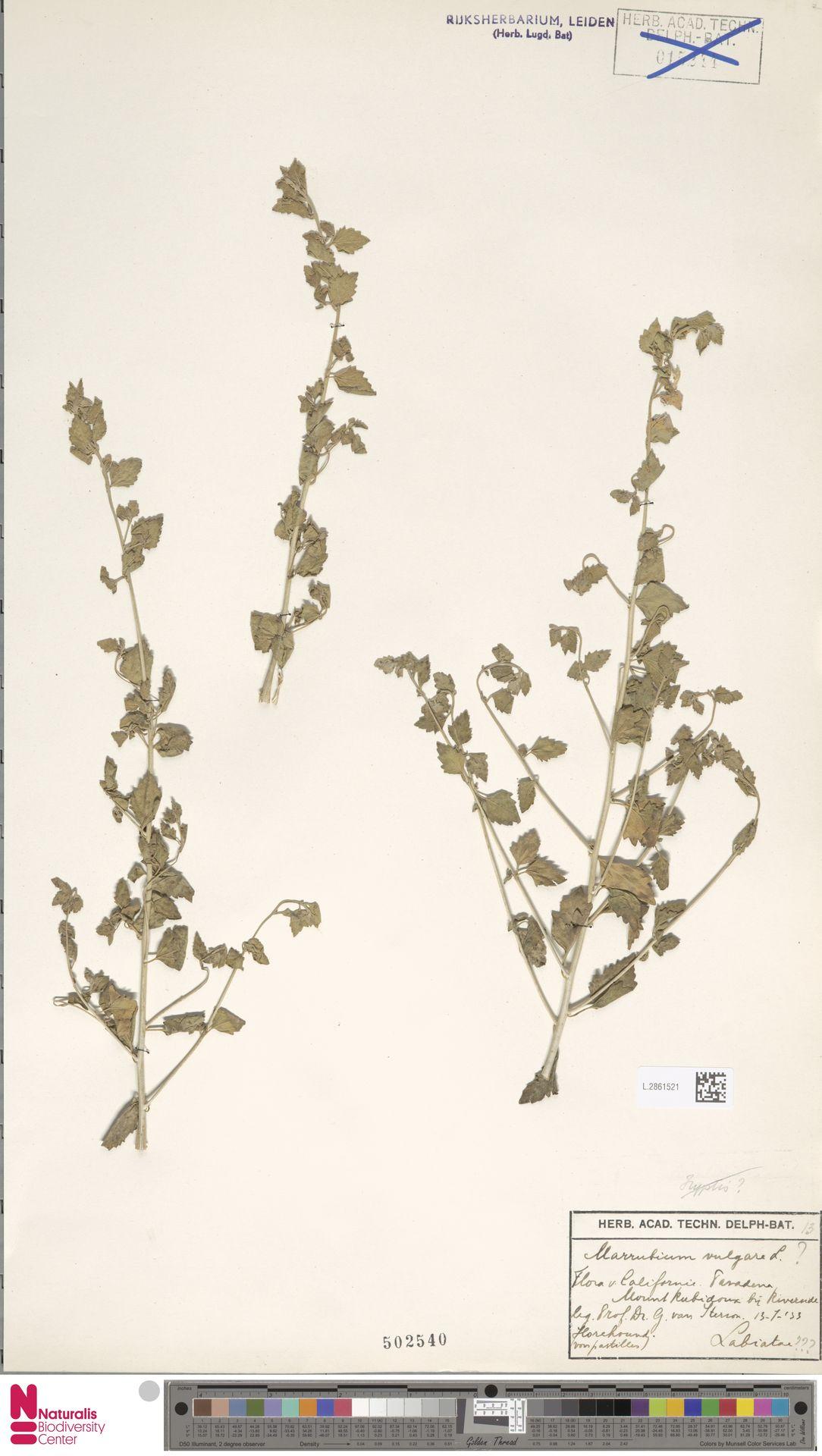 L.2861521 | Marrubium vulgare L.