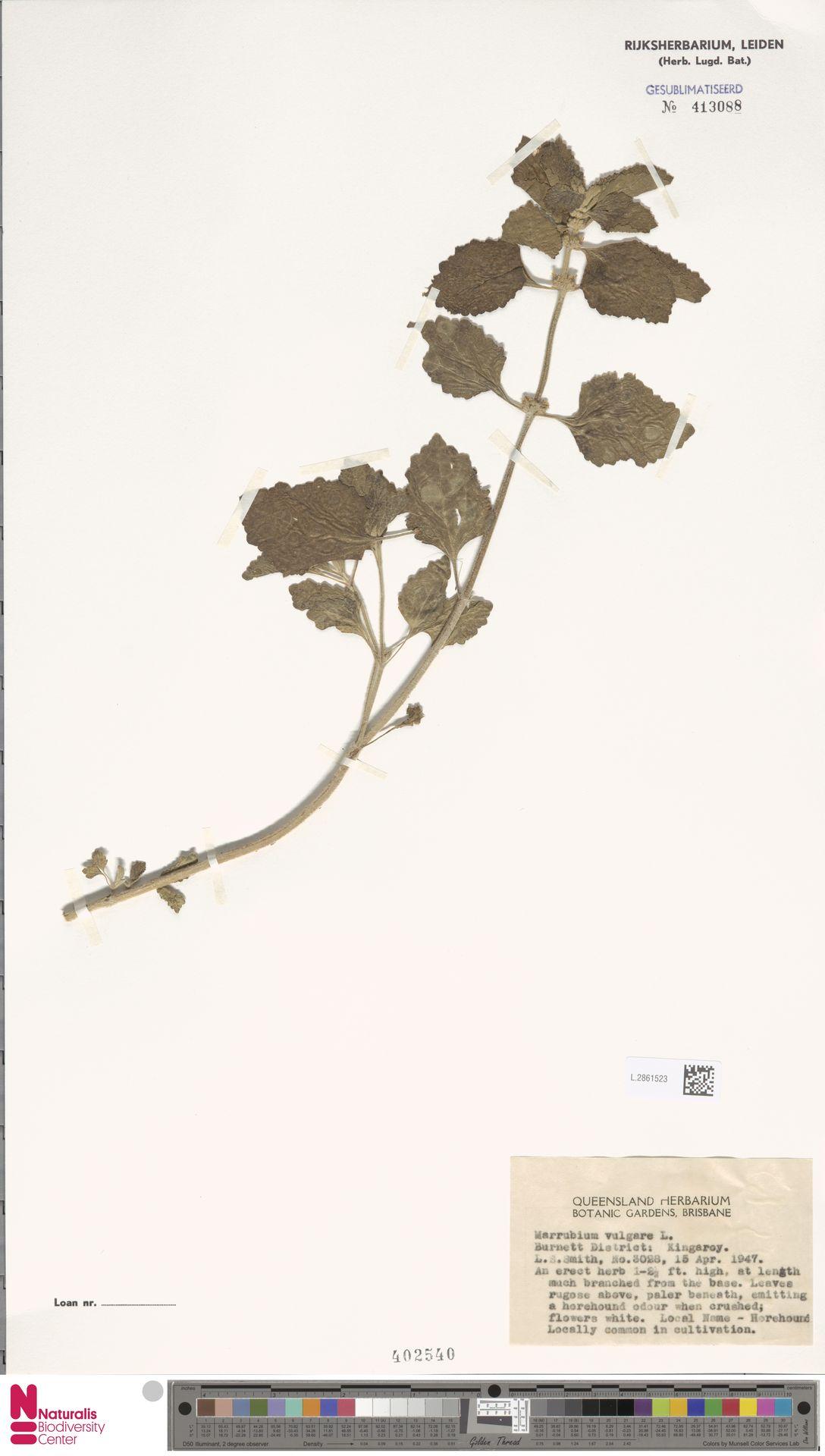 L.2861523 | Marrubium vulgare L.