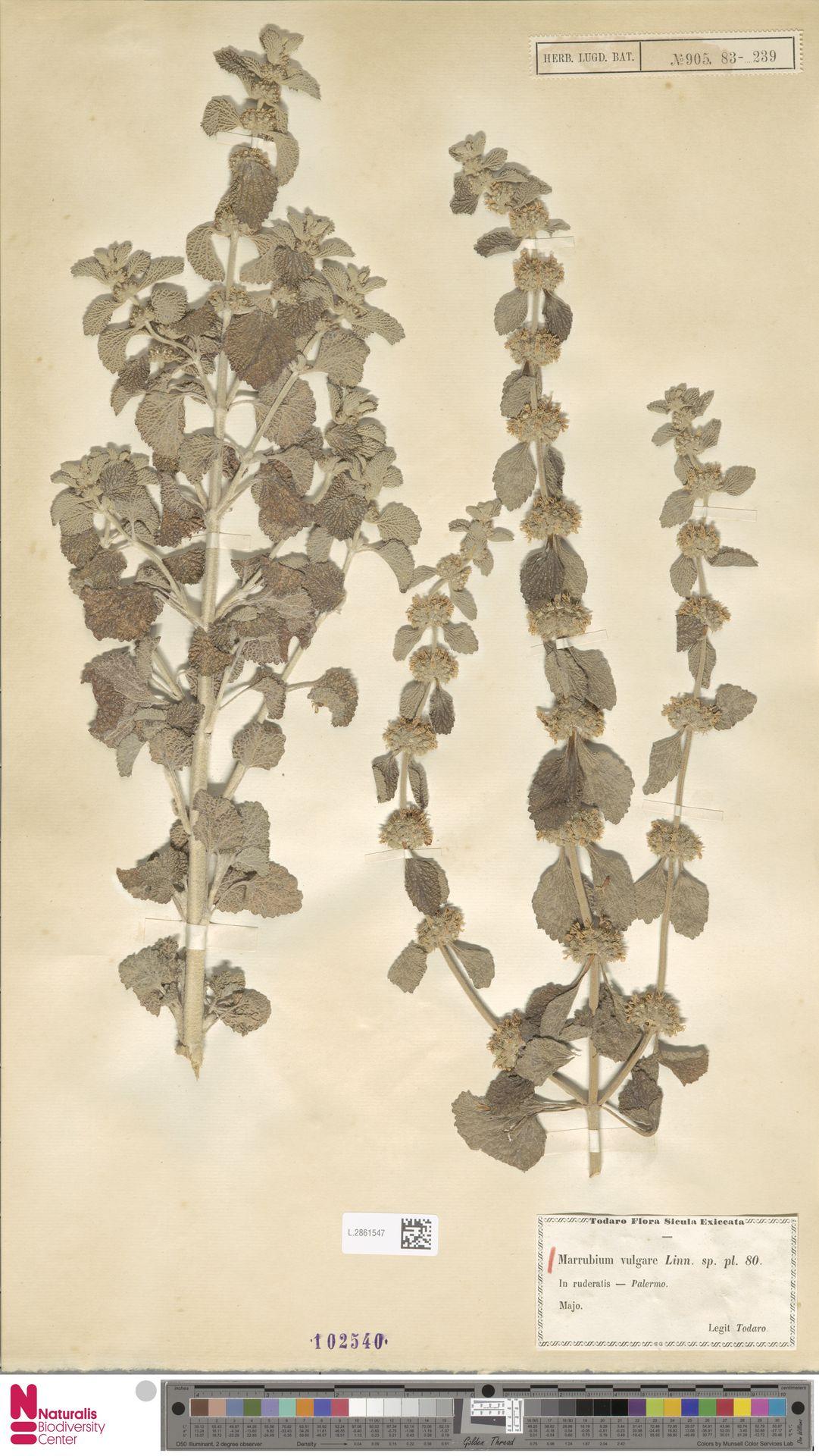 L.2861547 | Marrubium vulgare L.