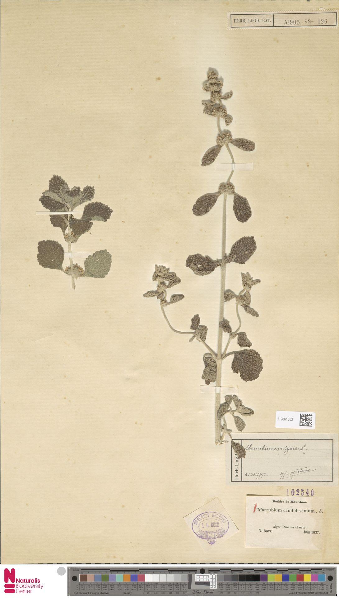 L.2861552   Marrubium vulgare L.