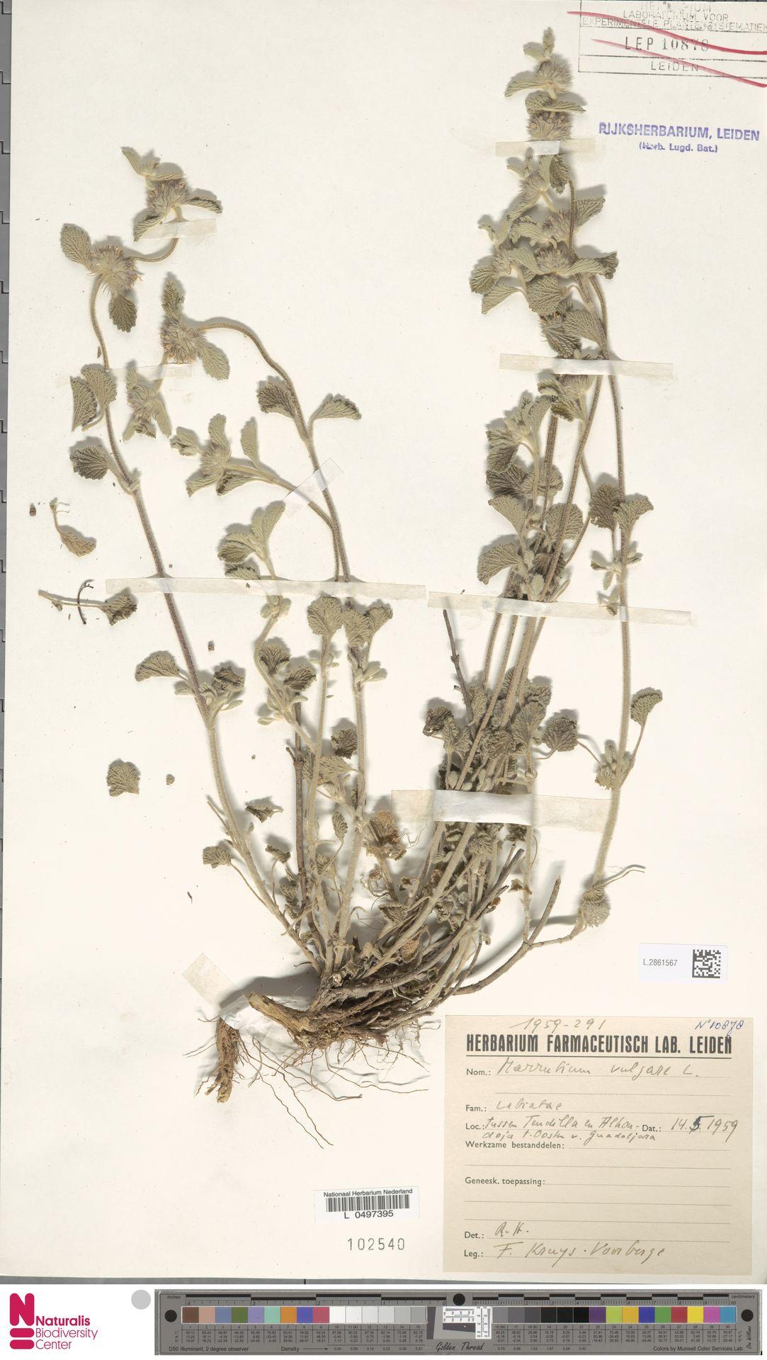 L.2861567 | Marrubium vulgare L.