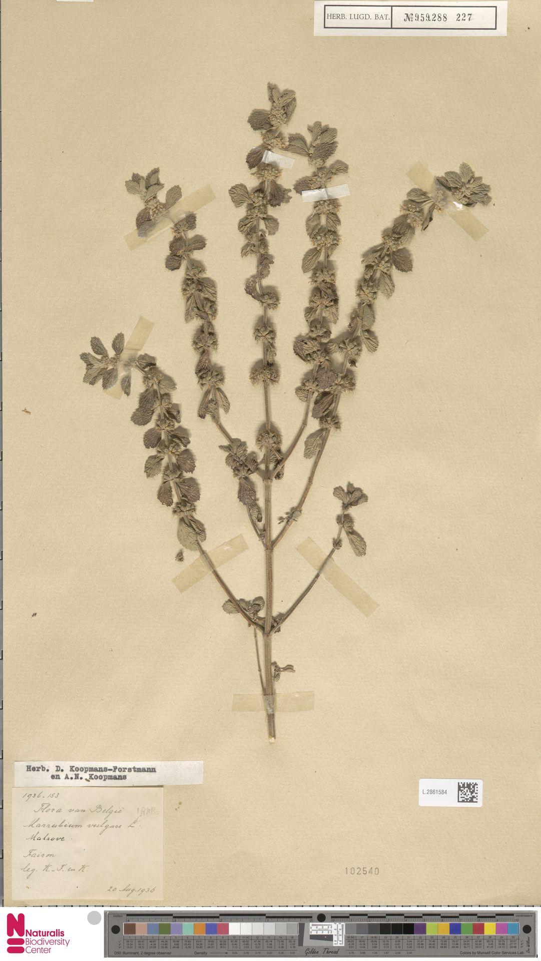 L.2861584   Marrubium vulgare L.
