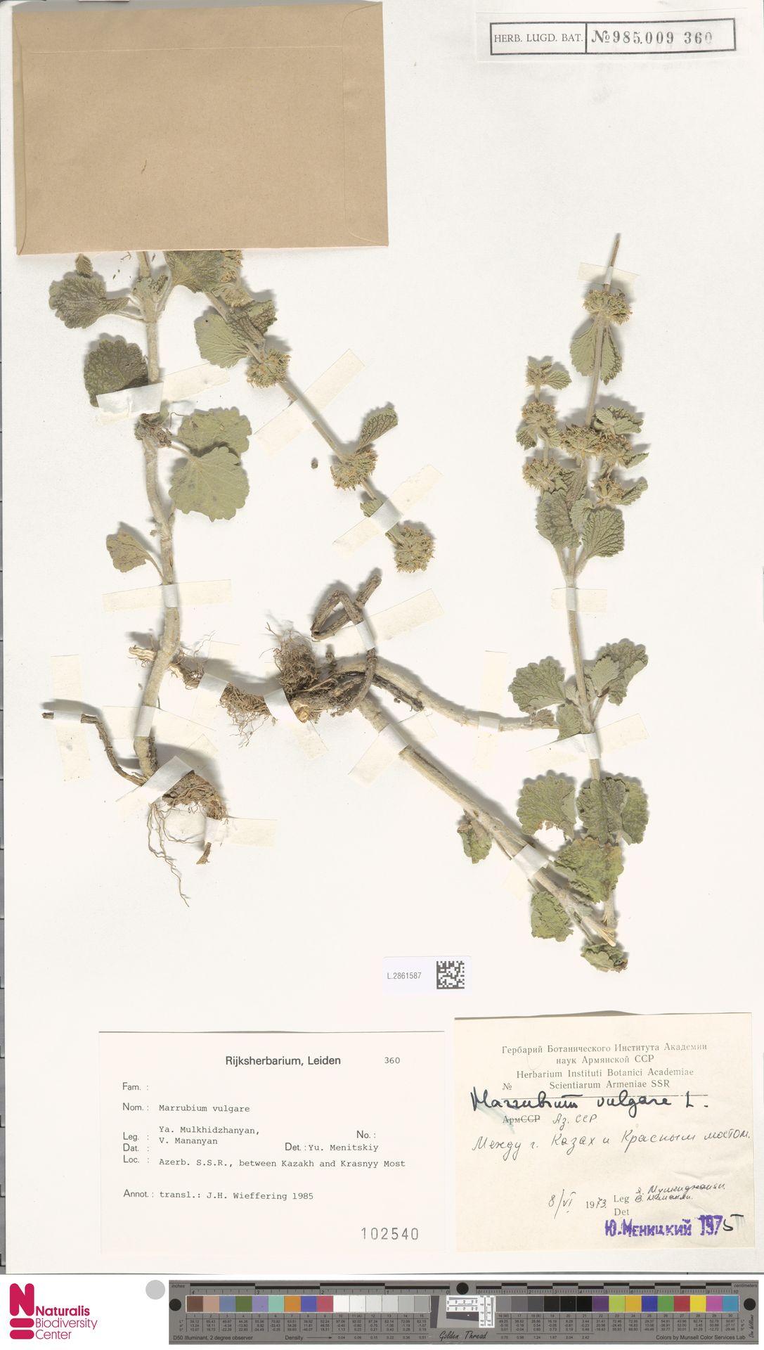 L.2861587 | Marrubium vulgare L.