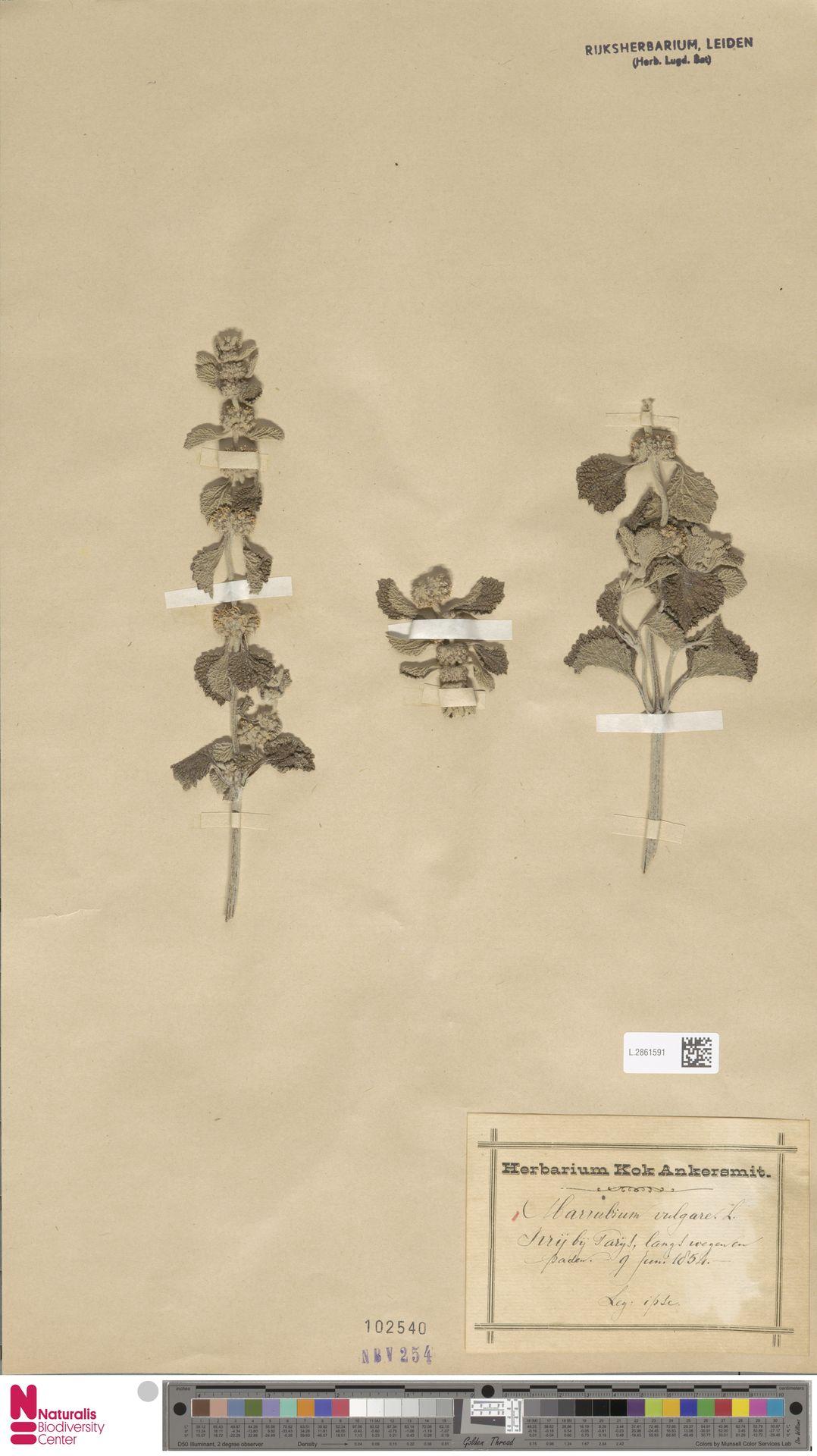 L.2861591   Marrubium vulgare L.