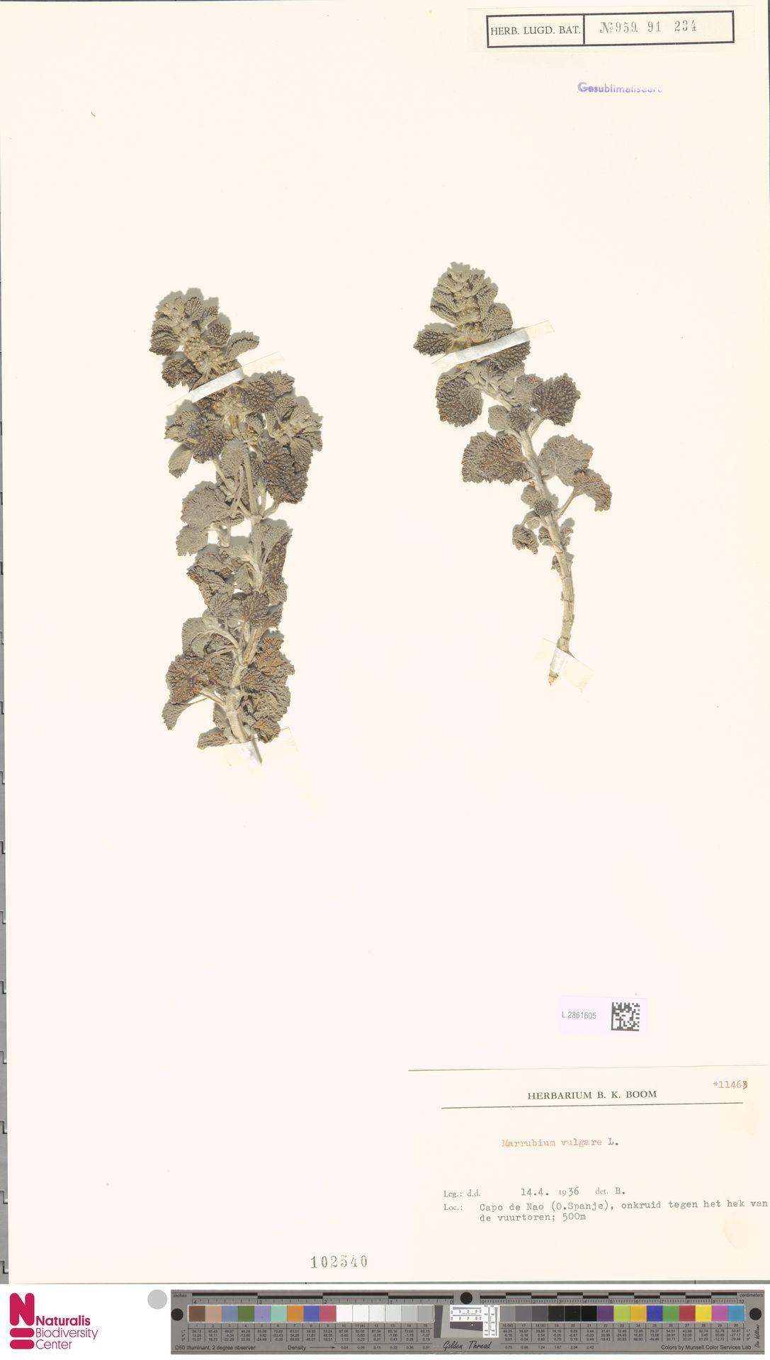 L.2861605   Marrubium vulgare L.