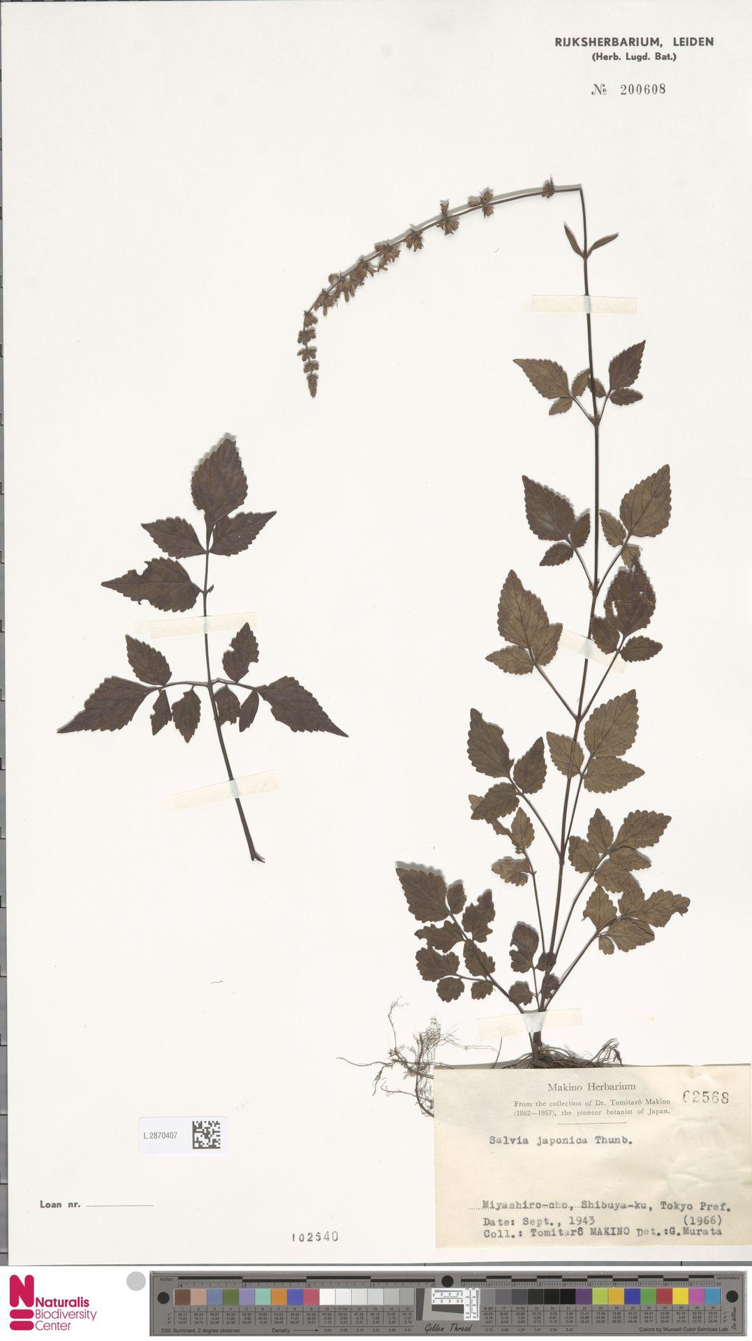 L.2870407 | Salvia japonica Thunb.