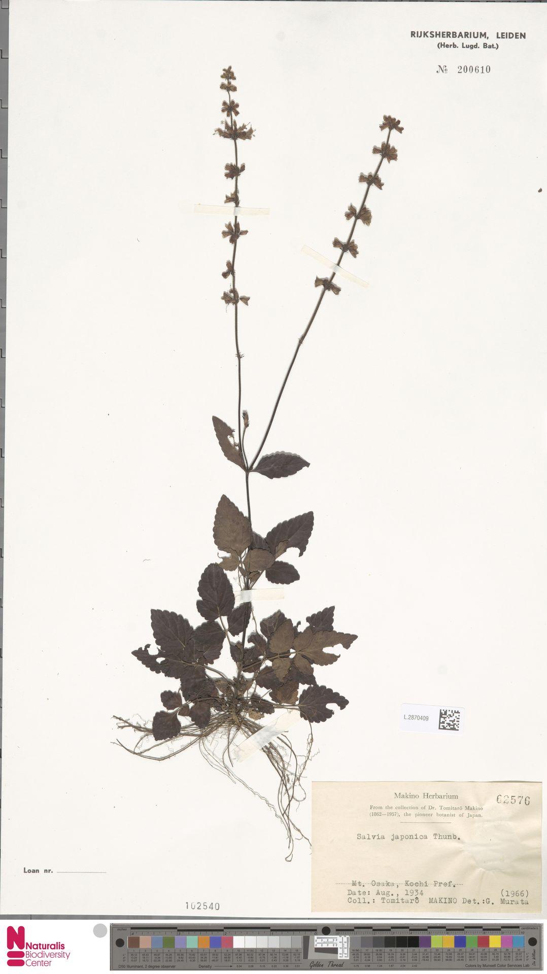 L.2870409 | Salvia japonica Thunb.