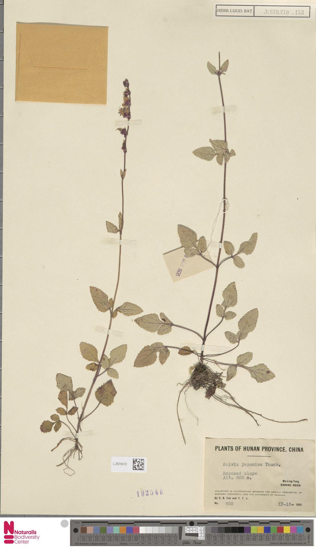 L.2870413   Salvia japonica Thunb.