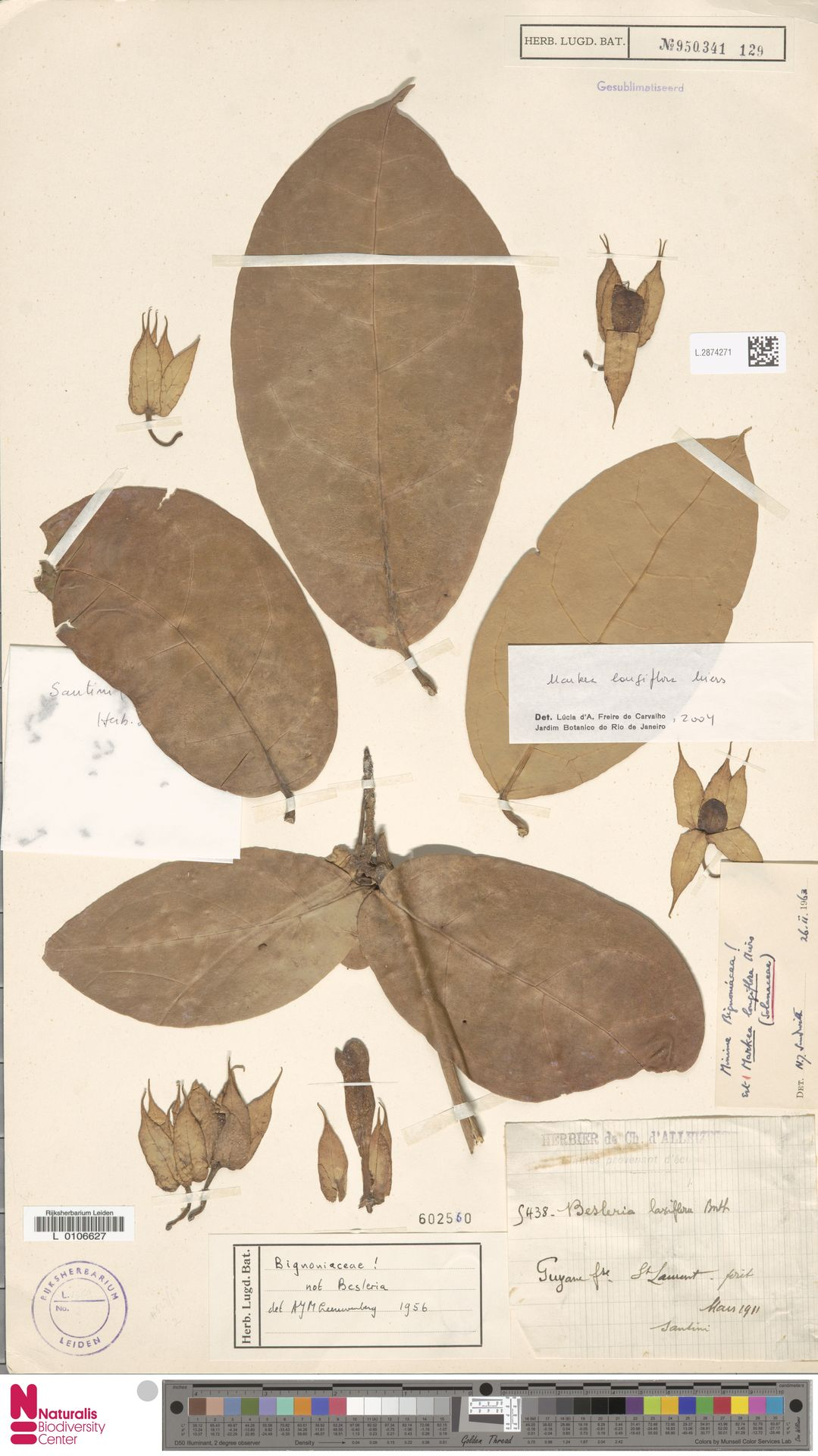 L.2874271 | Markea longiflora Miers