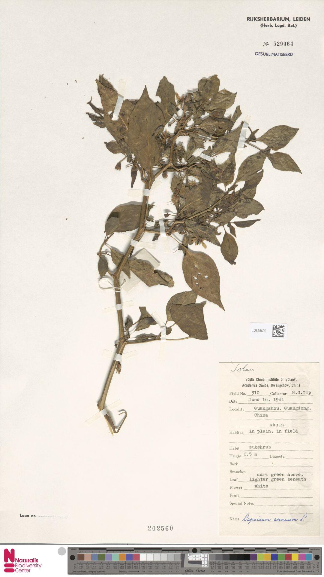 L.2875600 | Capsicum annuum L.