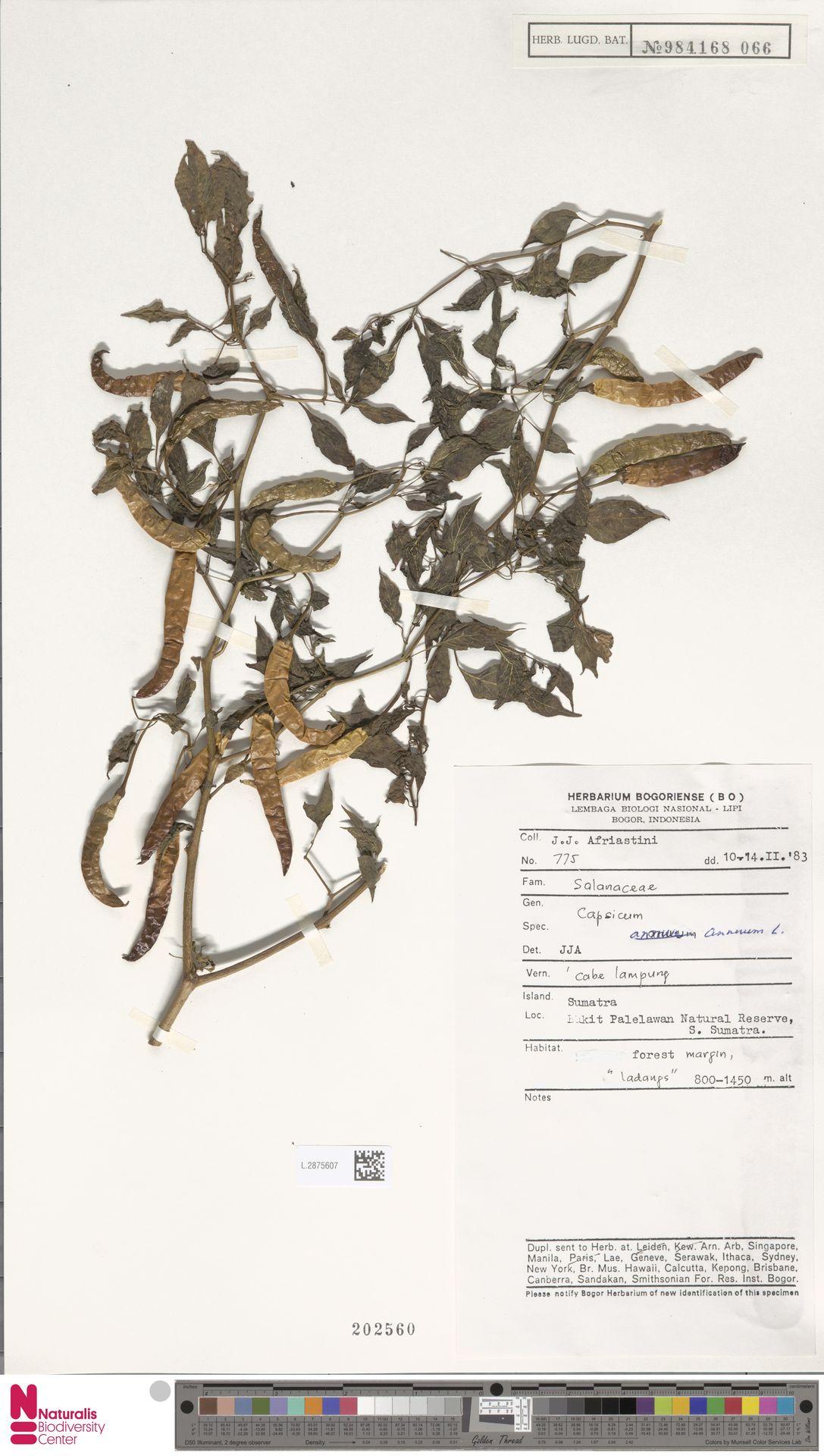 L.2875607 | Capsicum annuum L.
