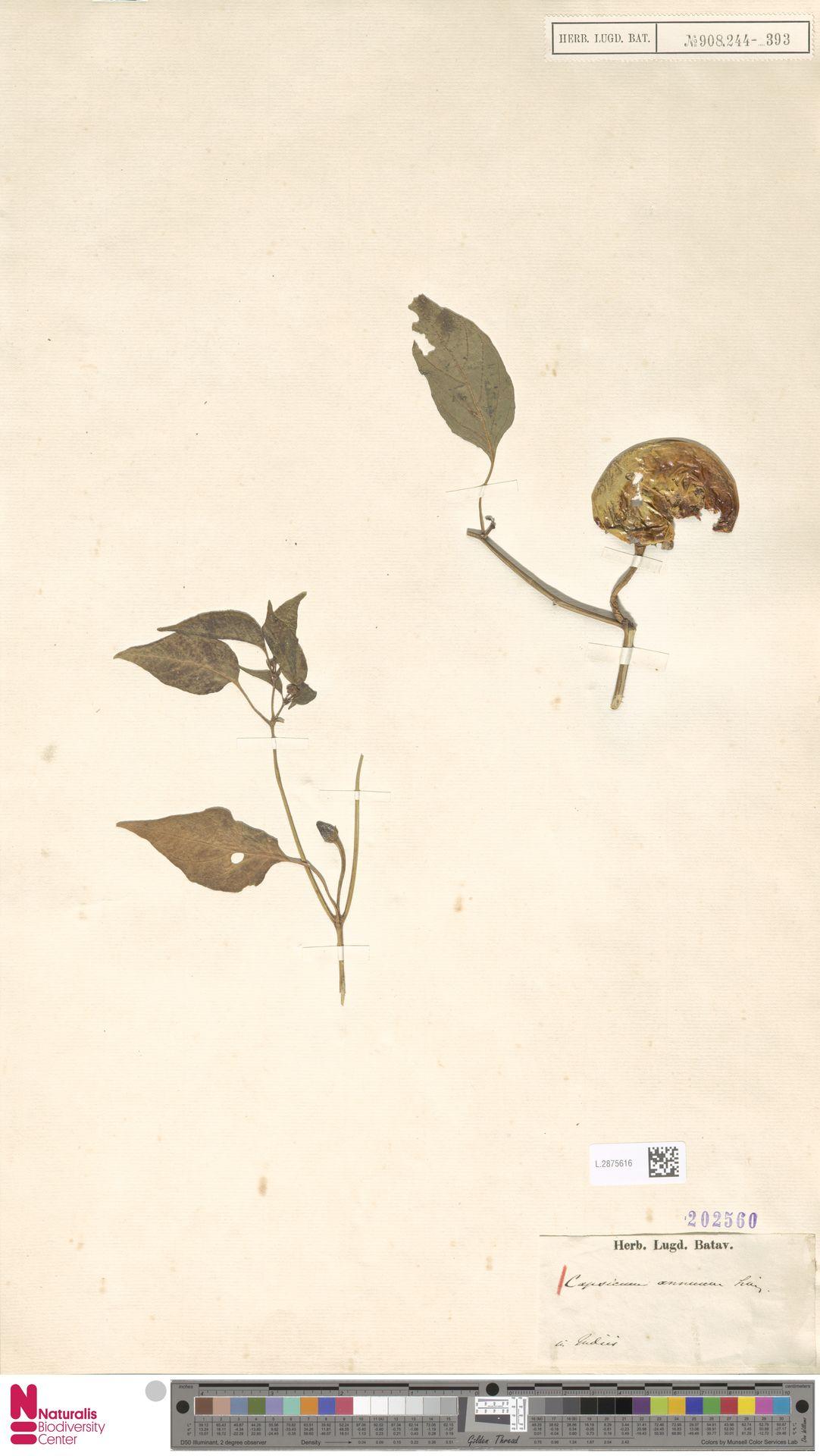 L.2875616 | Capsicum annuum L.