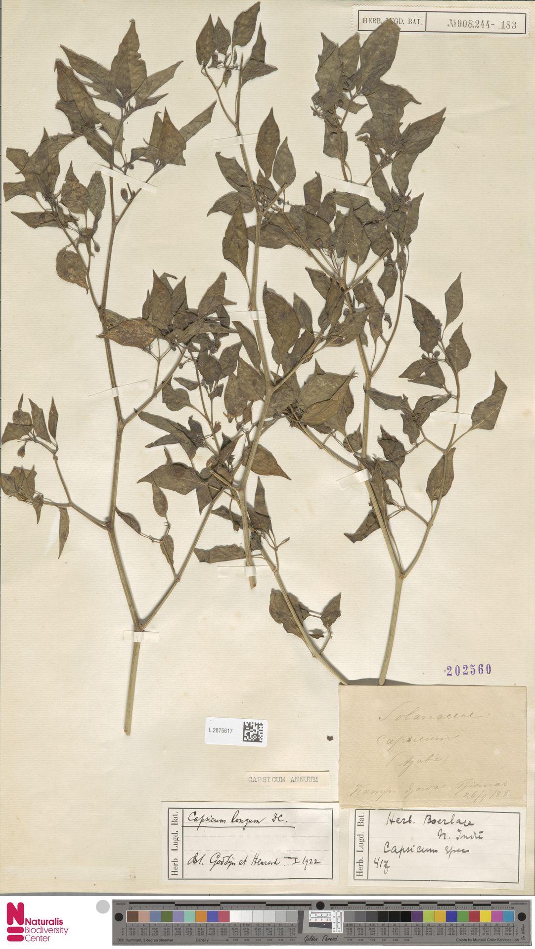 L.2875617 | Capsicum annuum L.
