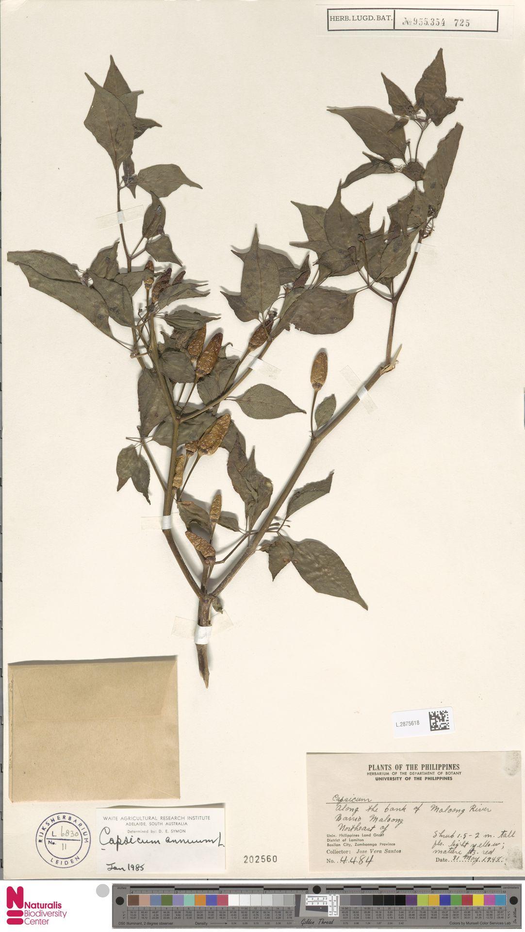 L.2875618 | Capsicum annuum L.