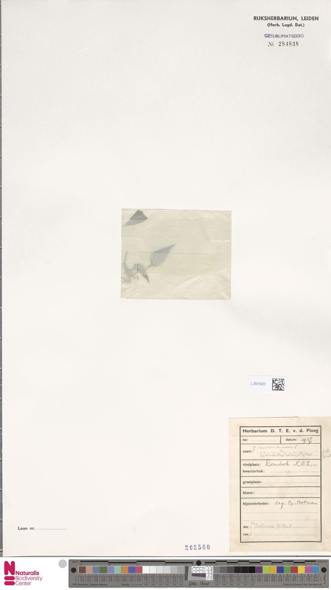 L.2875622 | Capsicum annuum L.