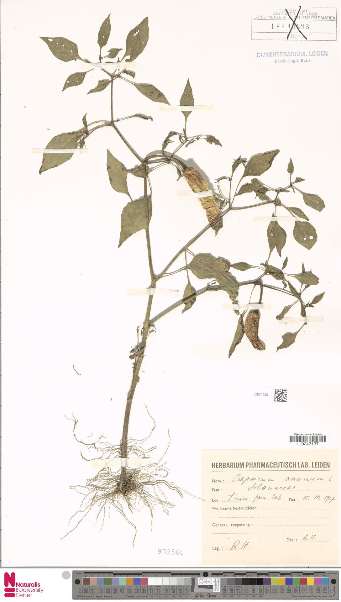 L.2875638 | Capsicum annuum L.