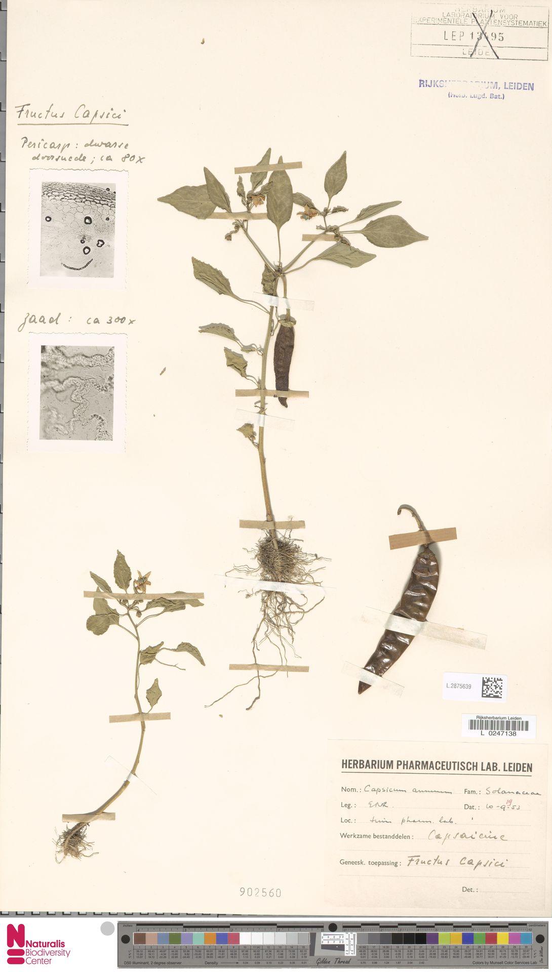 L.2875639 | Capsicum annuum L.