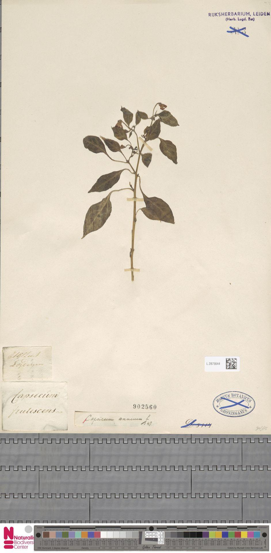 L.2875644 | Capsicum annuum L.