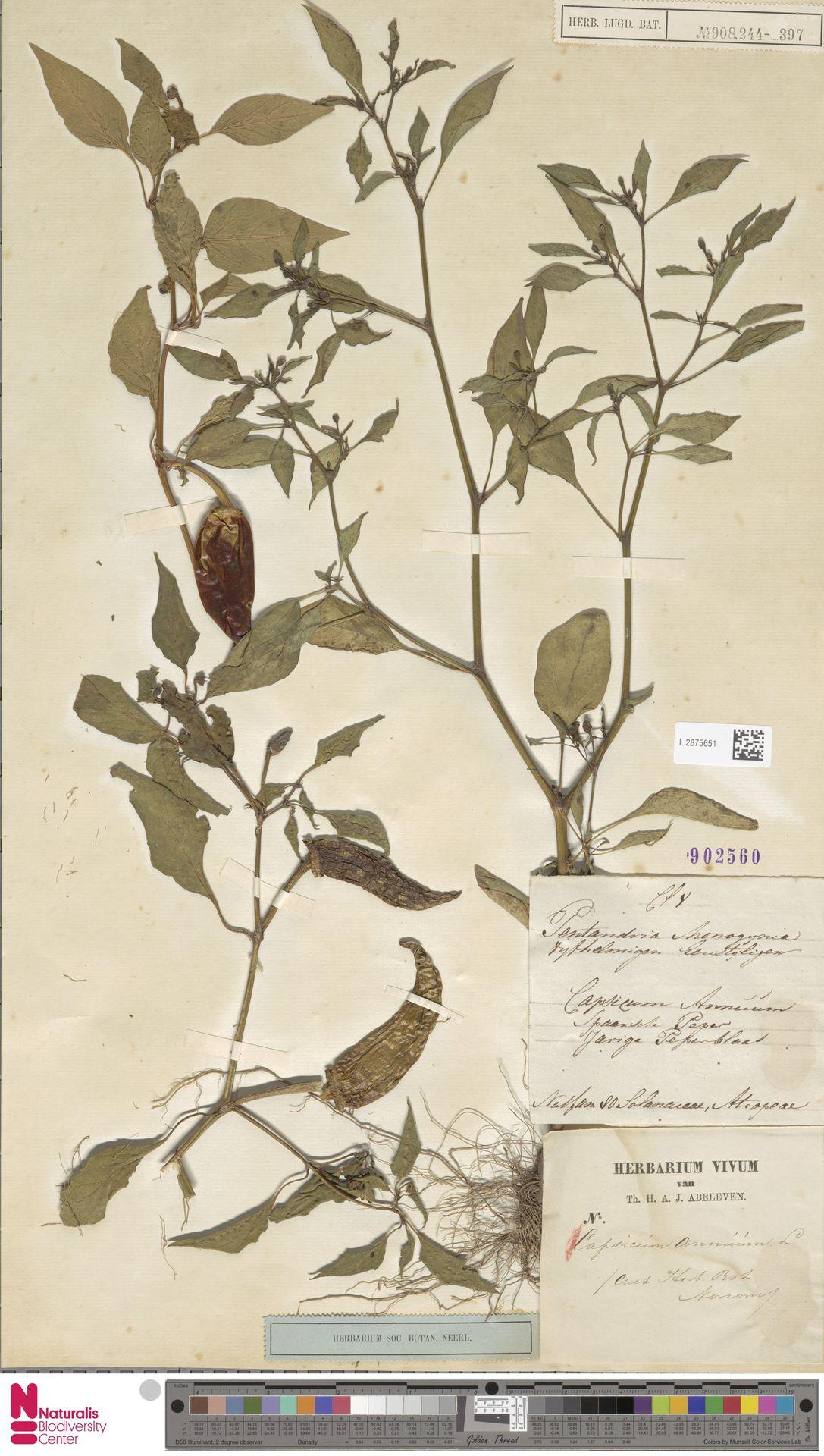 L.2875651 | Capsicum annuum L.