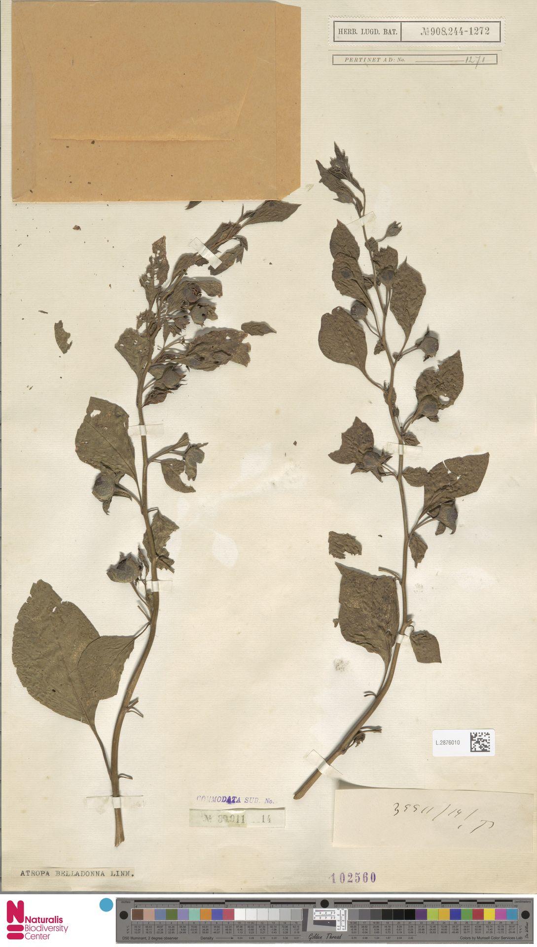 L.2876010 | Atropa belladonna L.