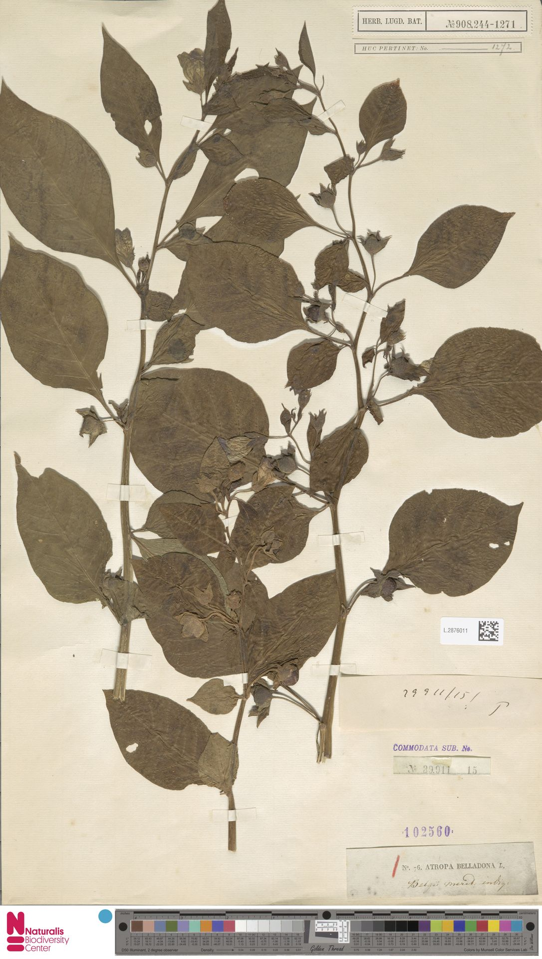 L.2876011 | Atropa belladonna L.