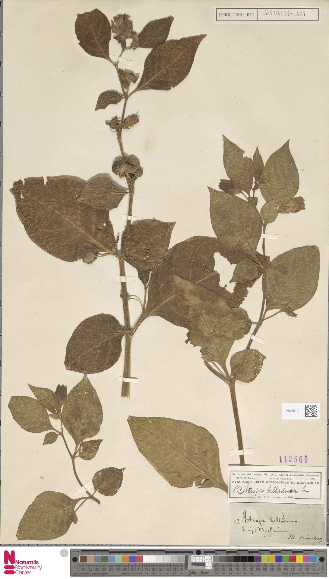 L.2876012 | Atropa belladonna L.