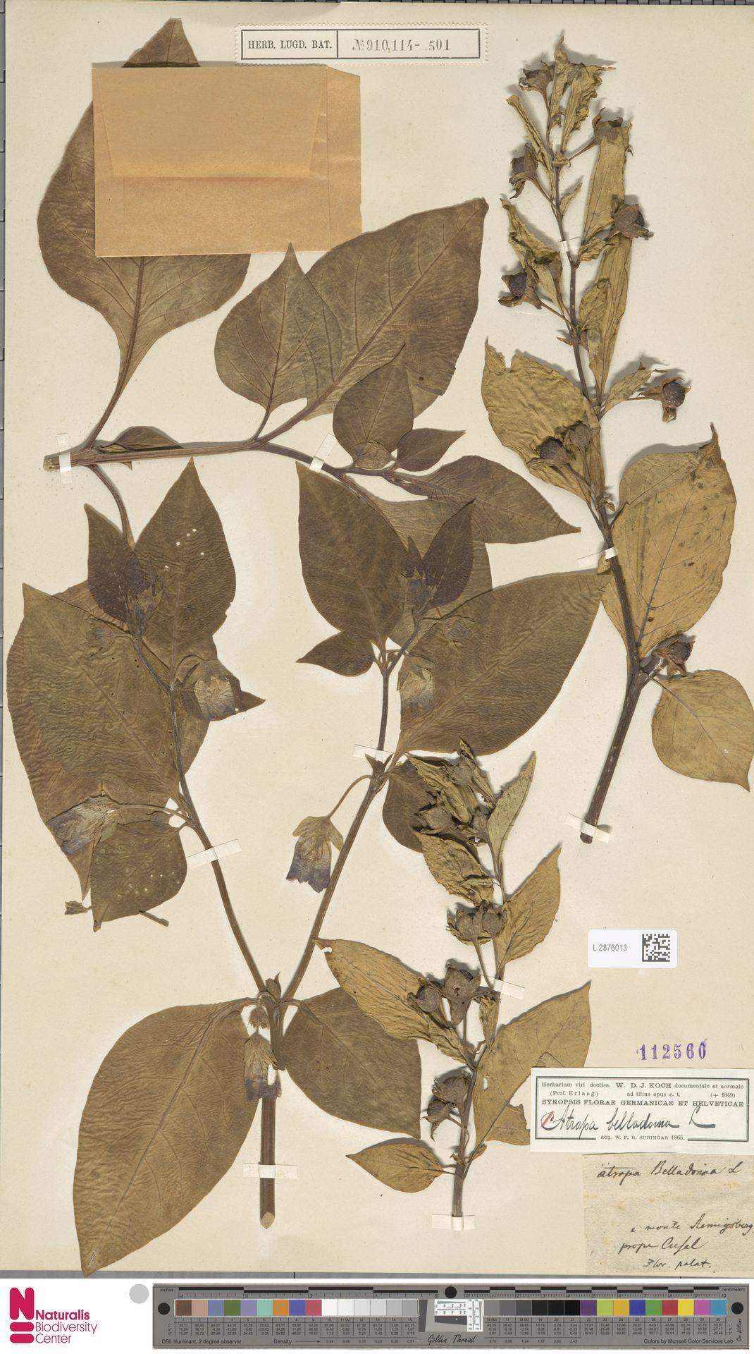 L.2876013 | Atropa belladonna L.