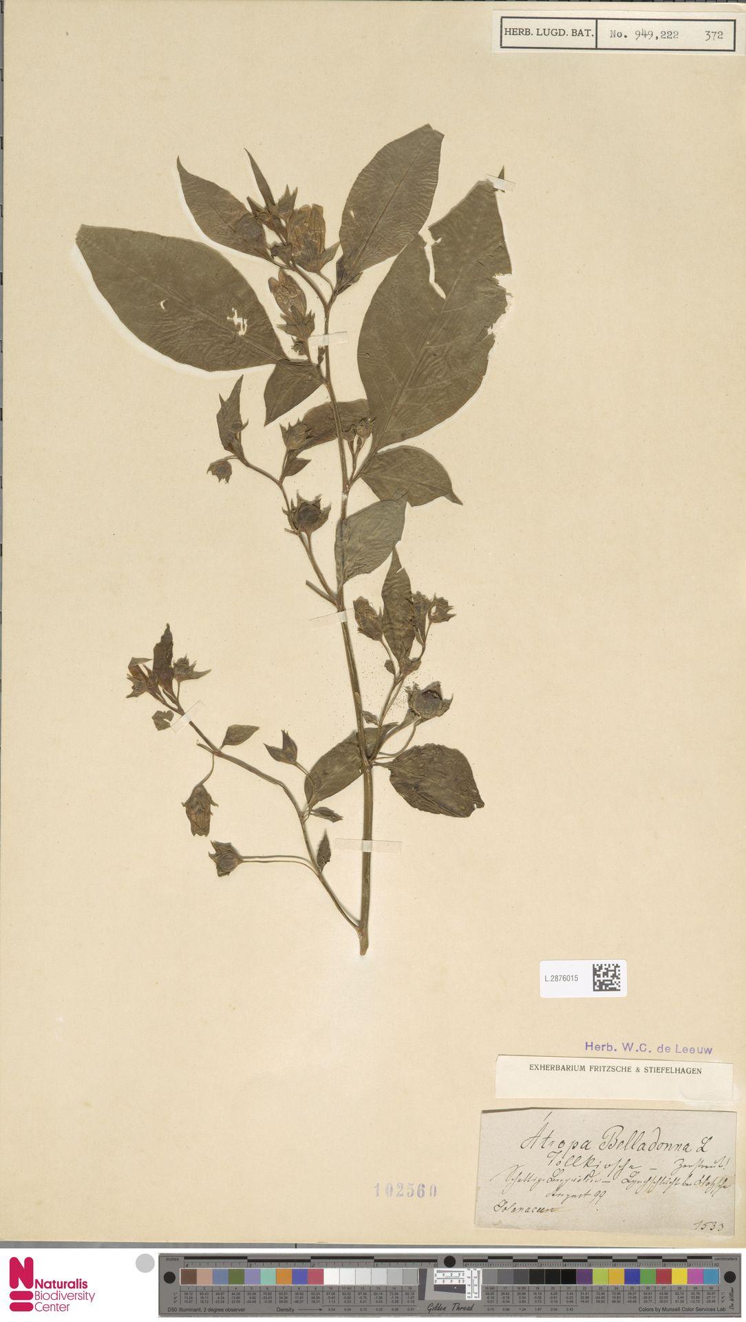 L.2876015 | Atropa belladonna L.
