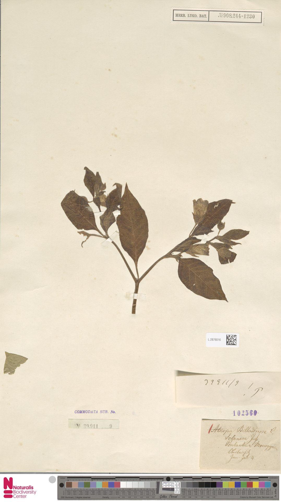 L.2876016 | Atropa belladonna L.