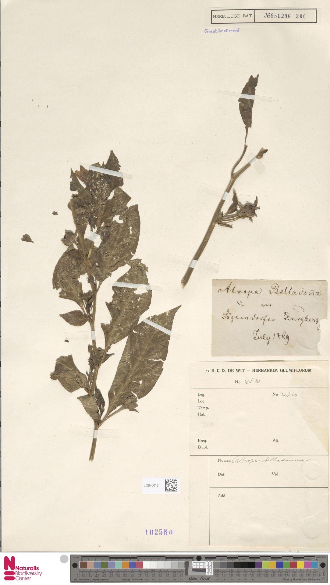 L.2876018 | Atropa belladonna L.