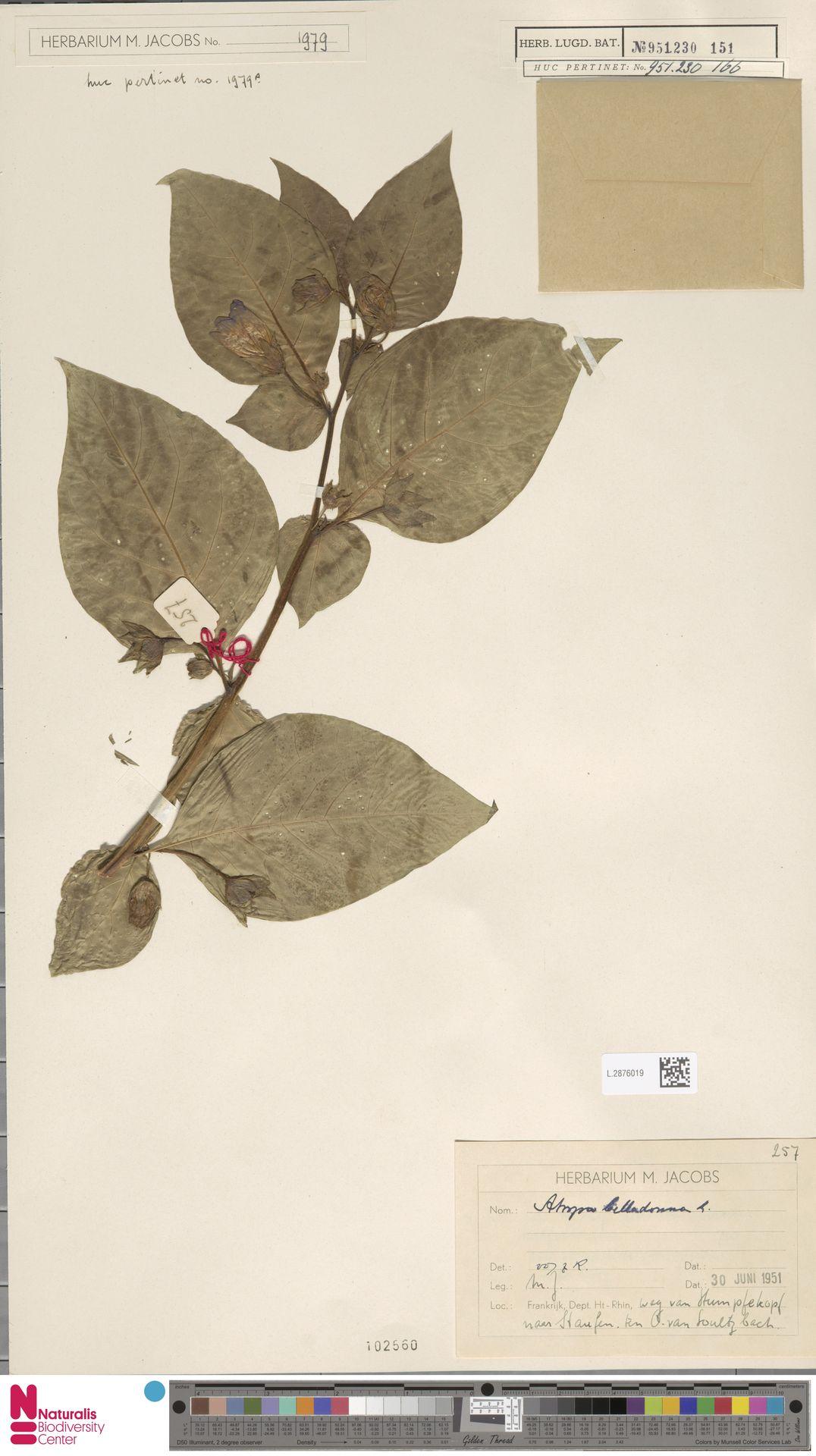 L.2876019 | Atropa belladonna L.