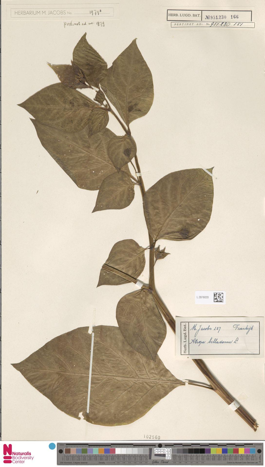 L.2876020 | Atropa belladonna L.