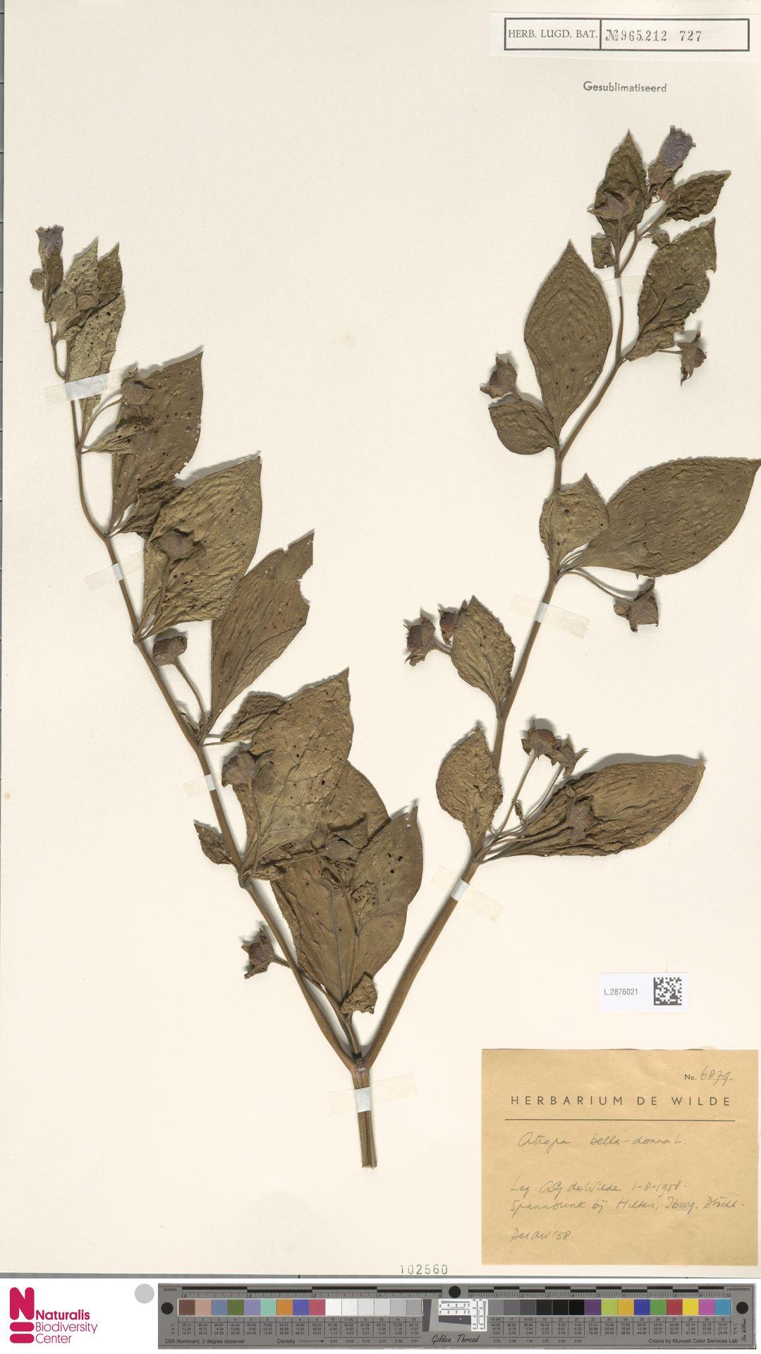L.2876021 | Atropa belladonna L.