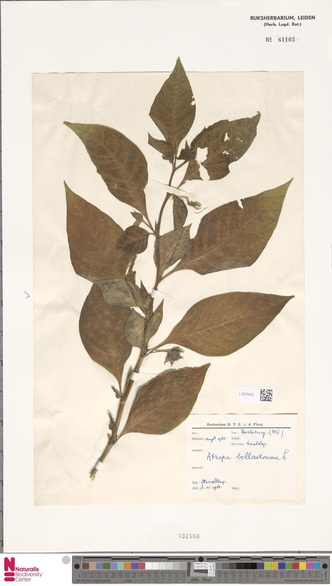 L.2876022 | Atropa belladonna L.