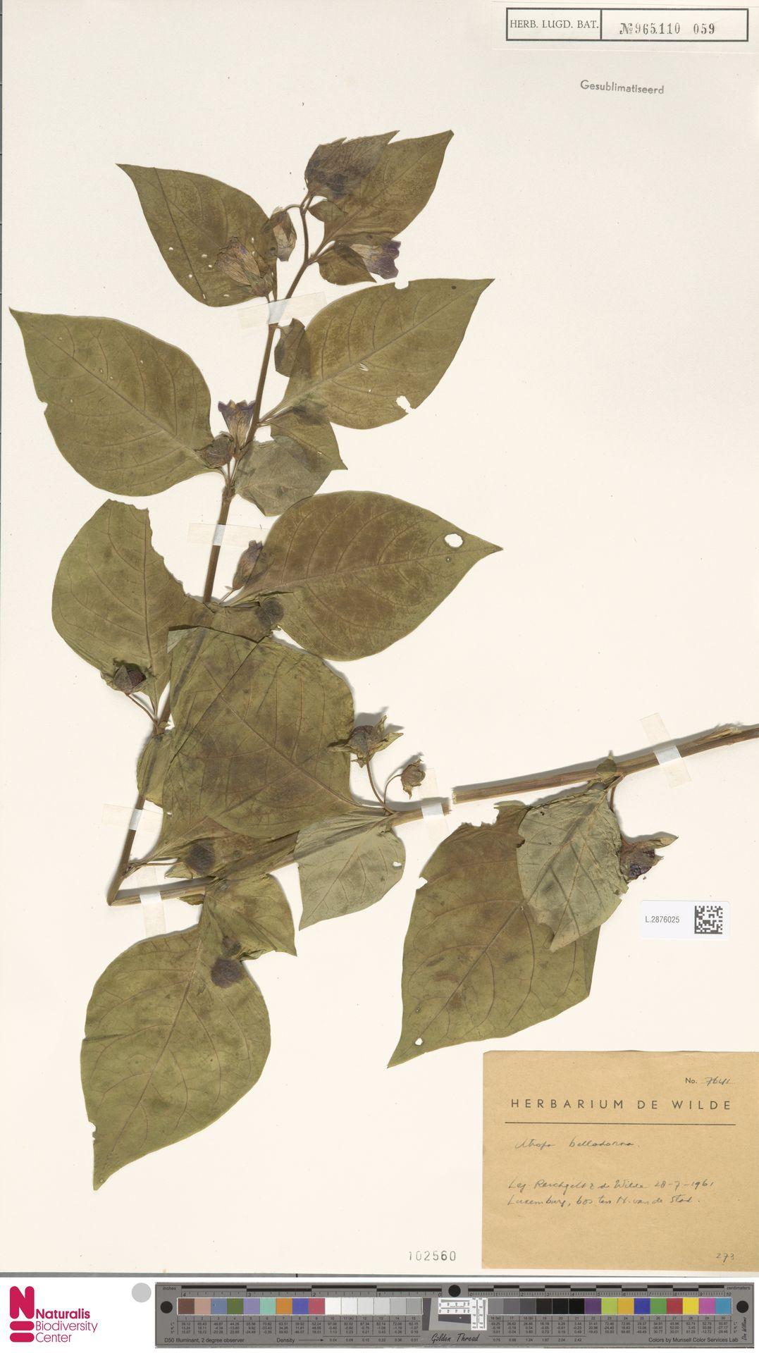 L.2876025 | Atropa belladonna L.
