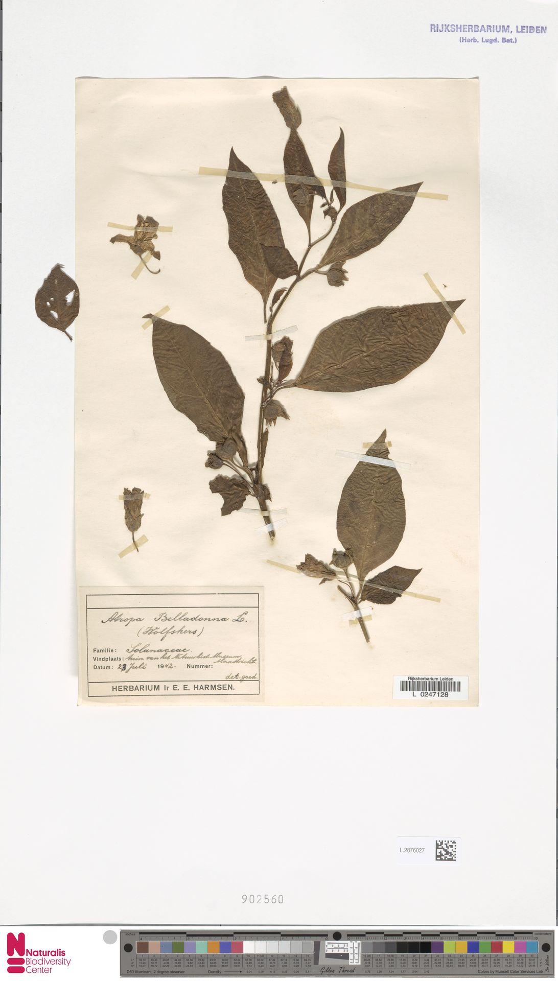 L.2876027 | Atropa belladonna L.