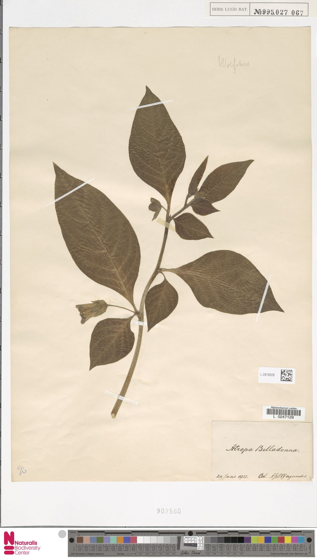 L.2876028 | Atropa belladonna L.
