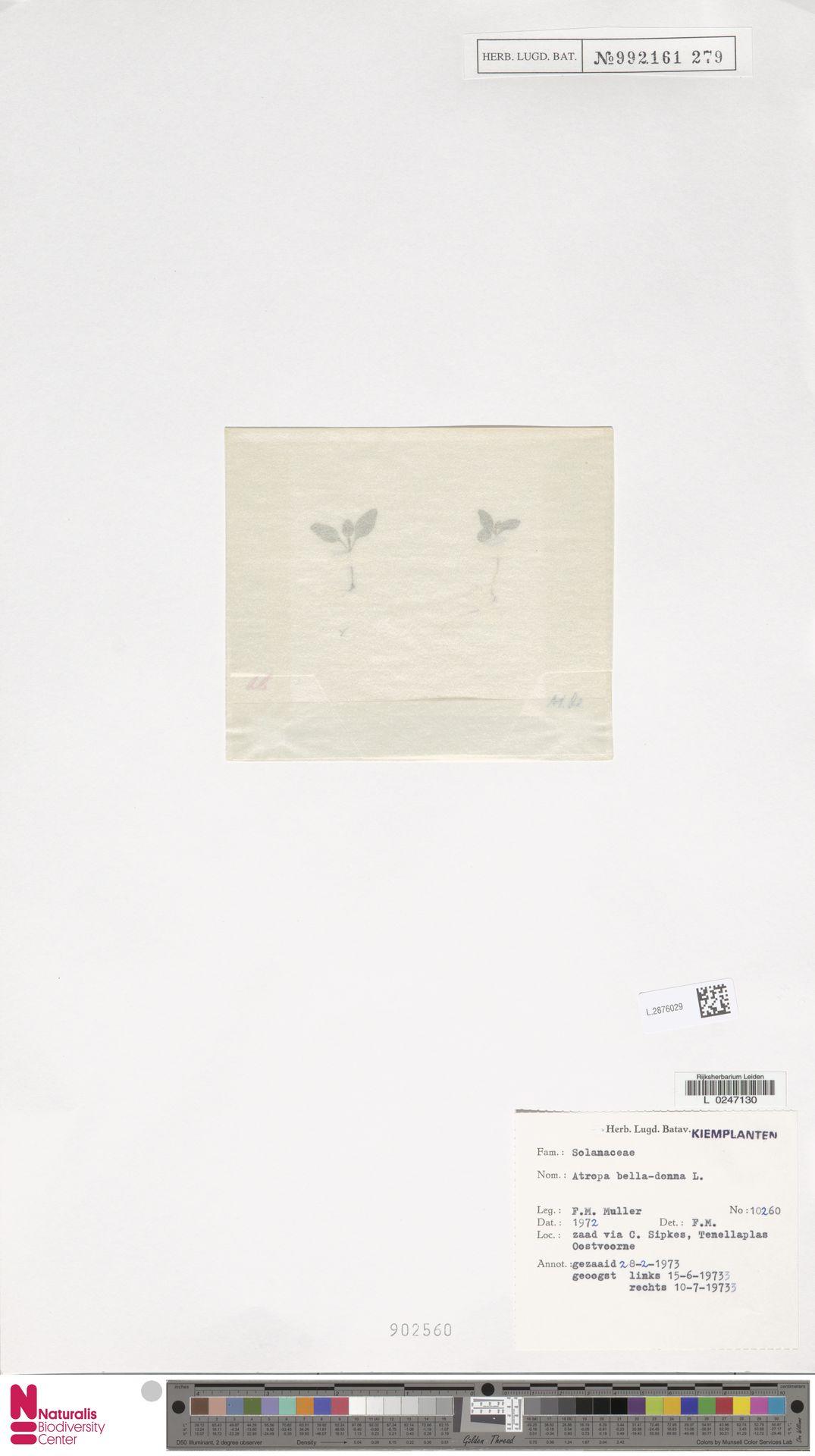L.2876029 | Atropa belladonna L.