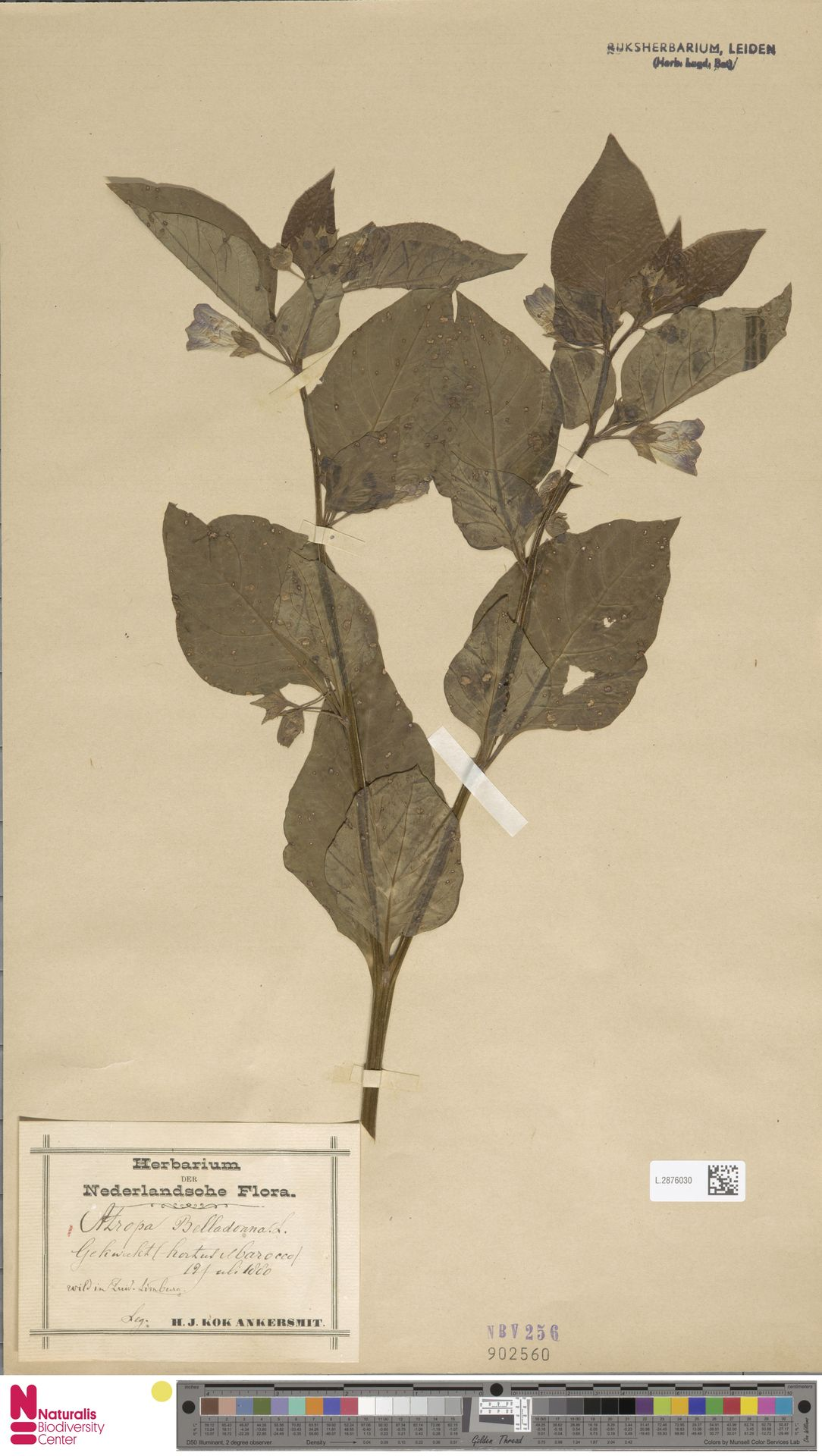 L.2876030   Atropa belladonna L.