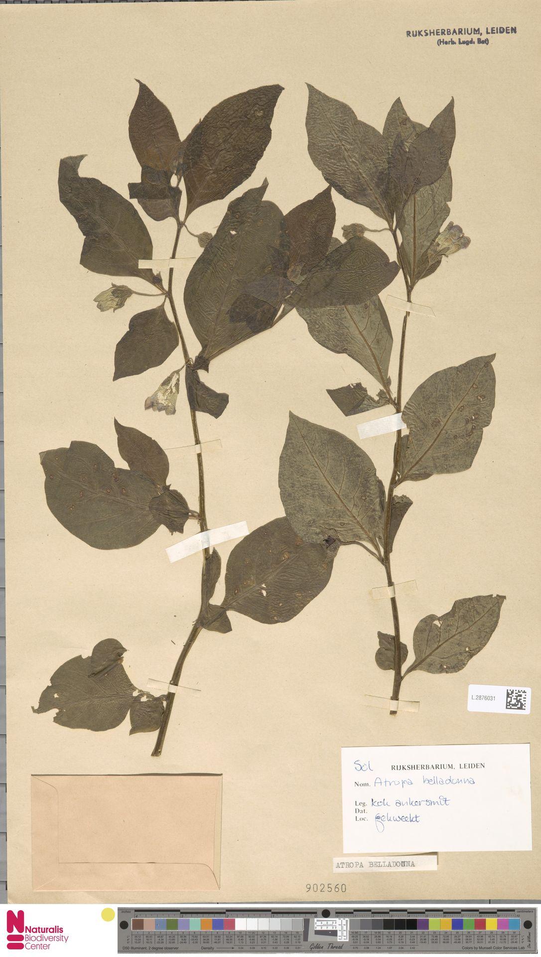 L.2876031   Atropa belladonna L.