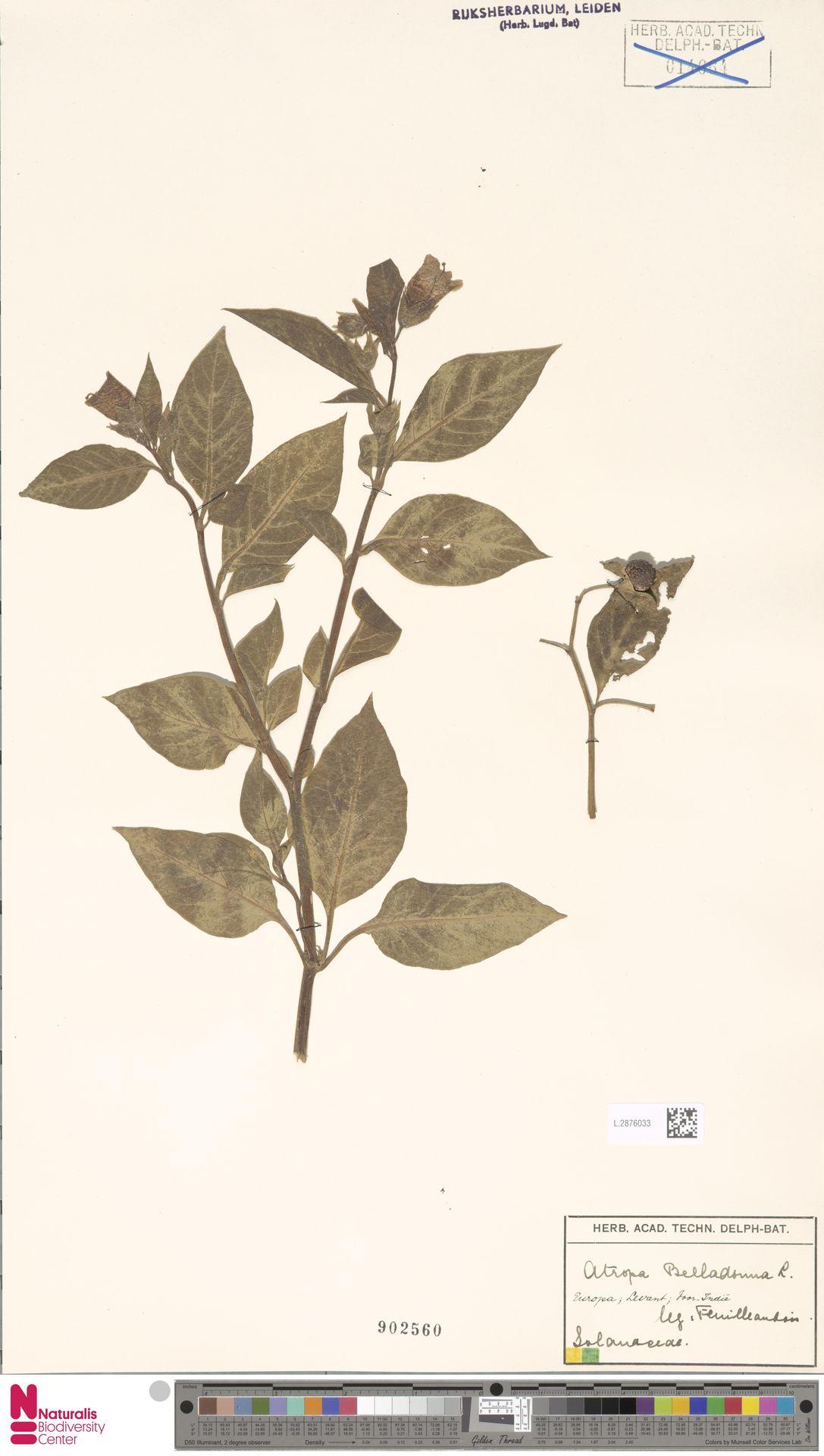 L.2876033 | Atropa belladonna L.