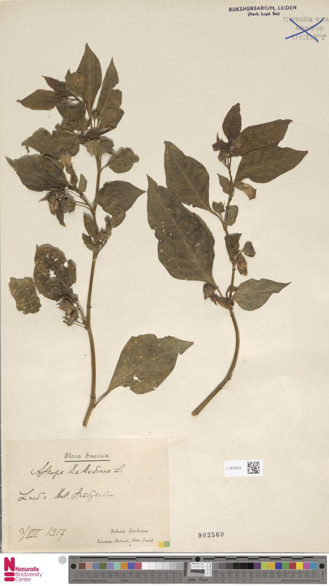 L.2876034 | Atropa belladonna L.