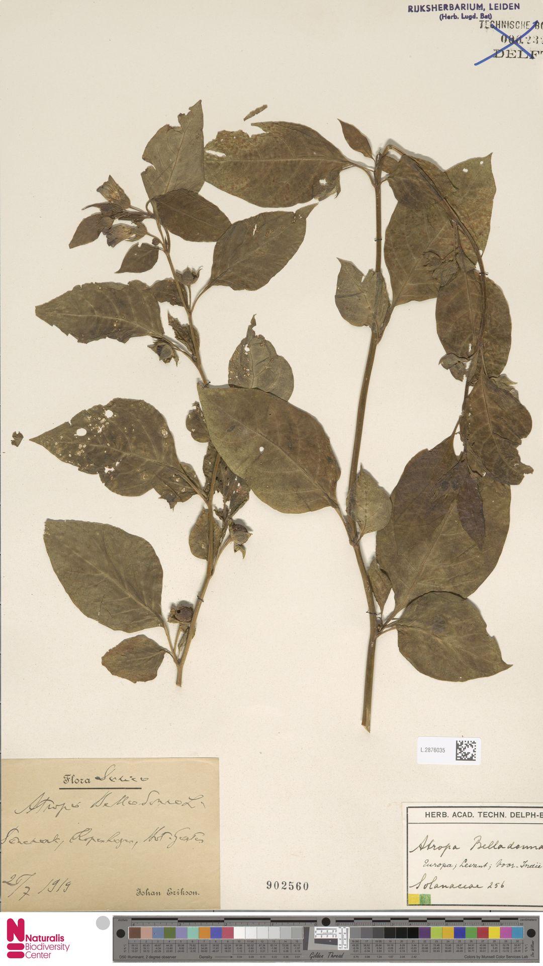 L.2876035   Atropa belladonna L.