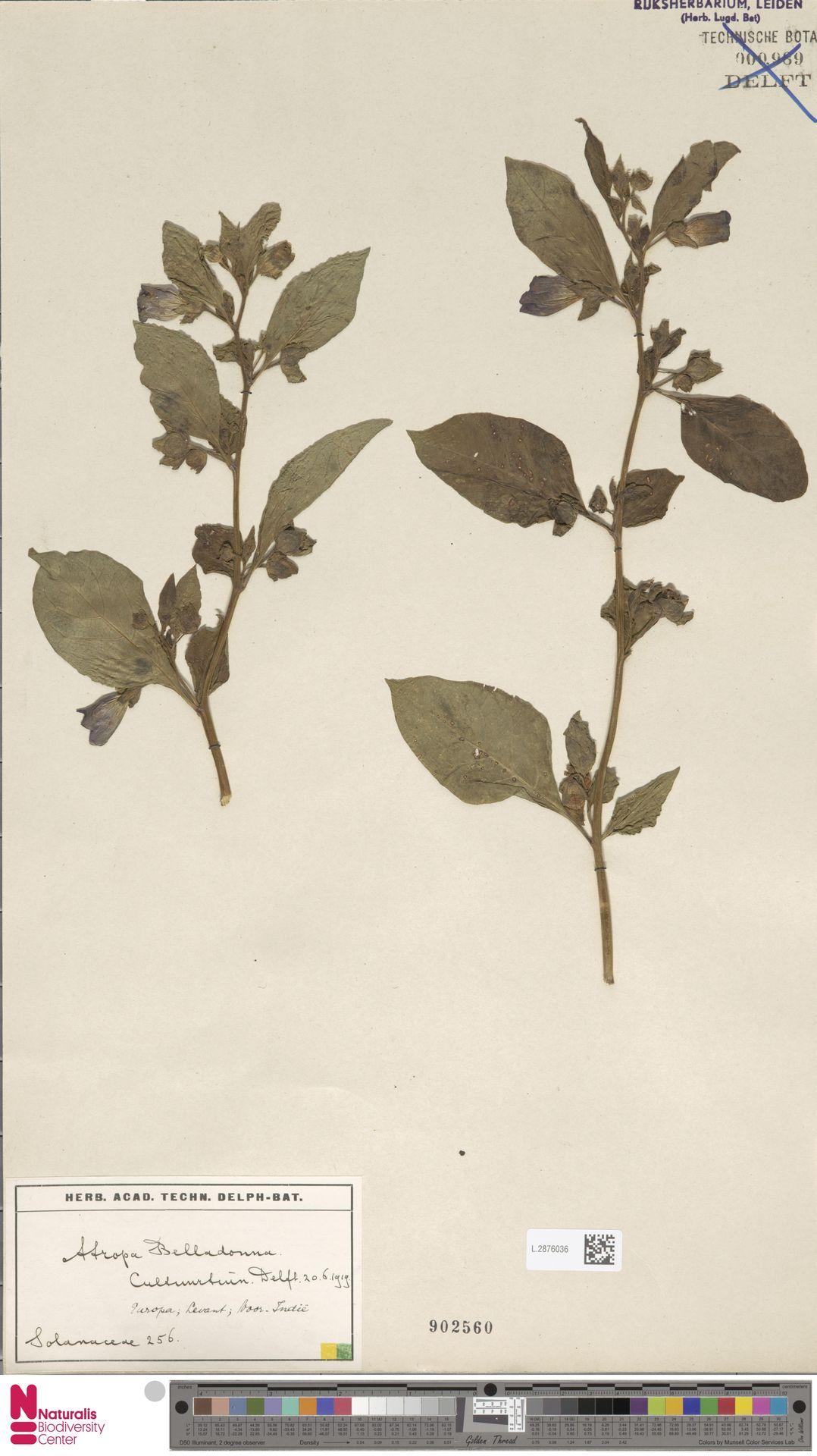 L.2876036 | Atropa belladonna L.