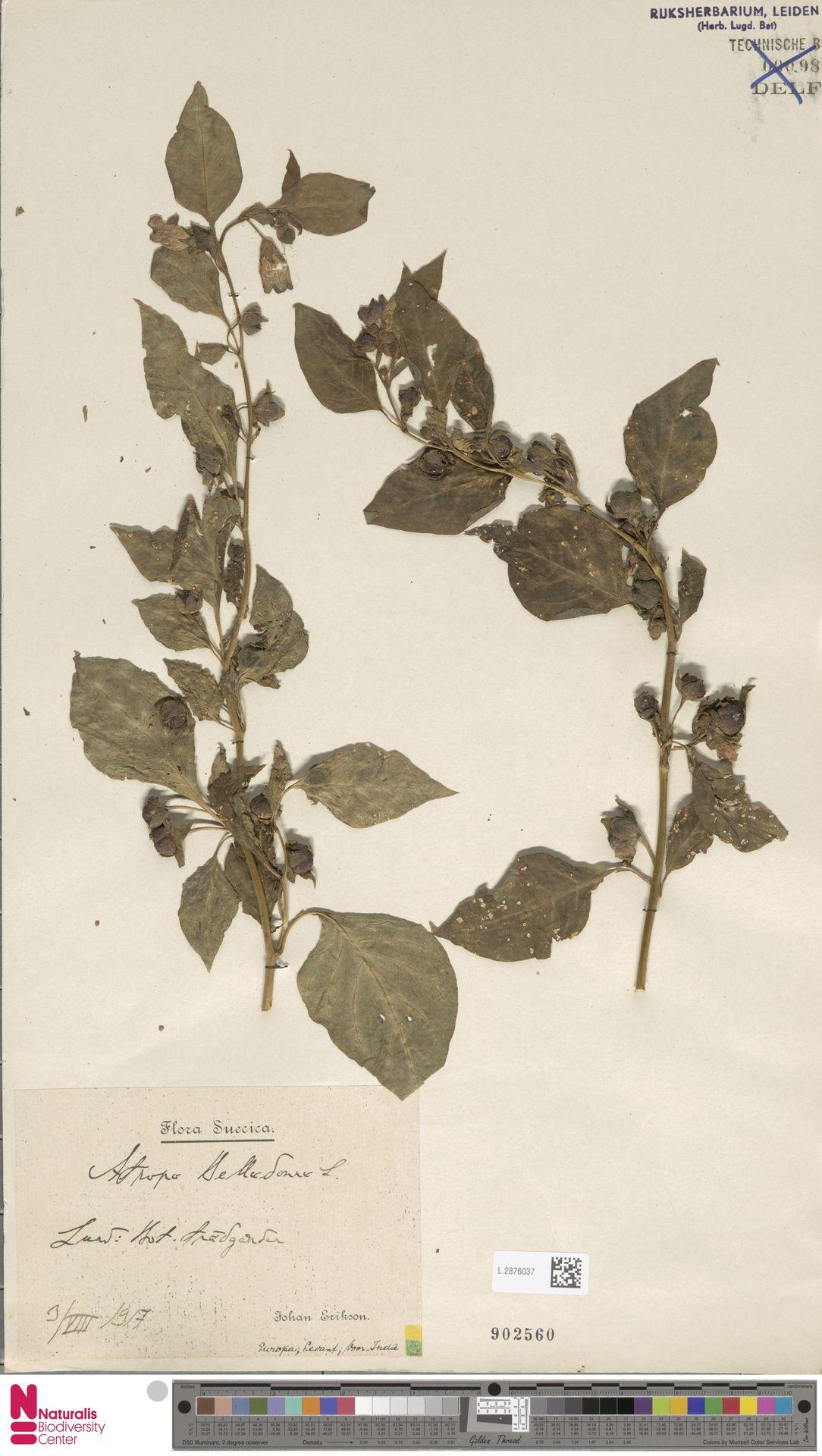 L.2876037 | Atropa belladonna L.