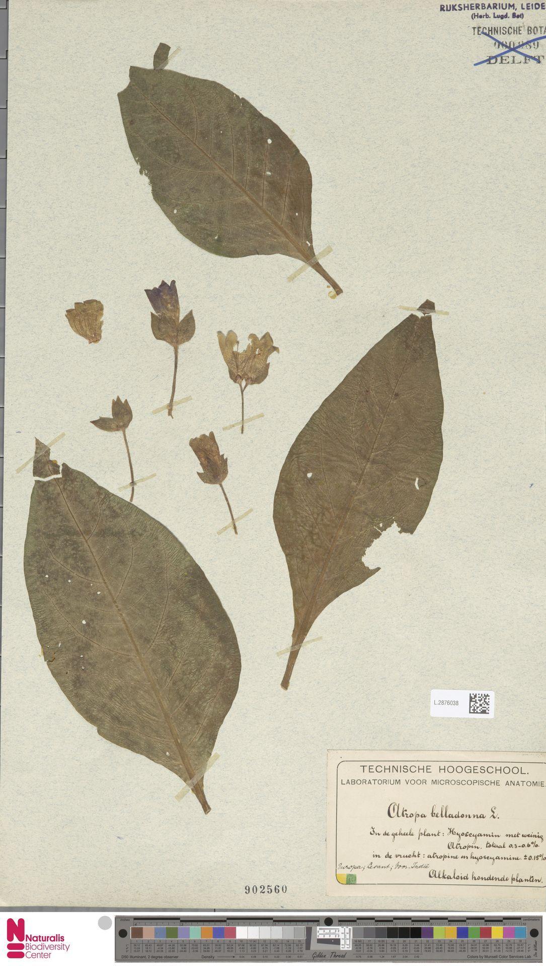 L.2876038 | Atropa belladonna L.