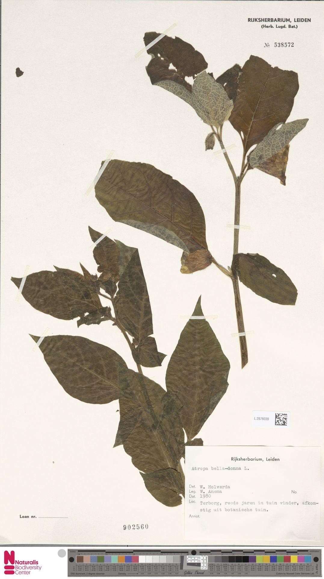 L.2876039 | Atropa belladonna L.
