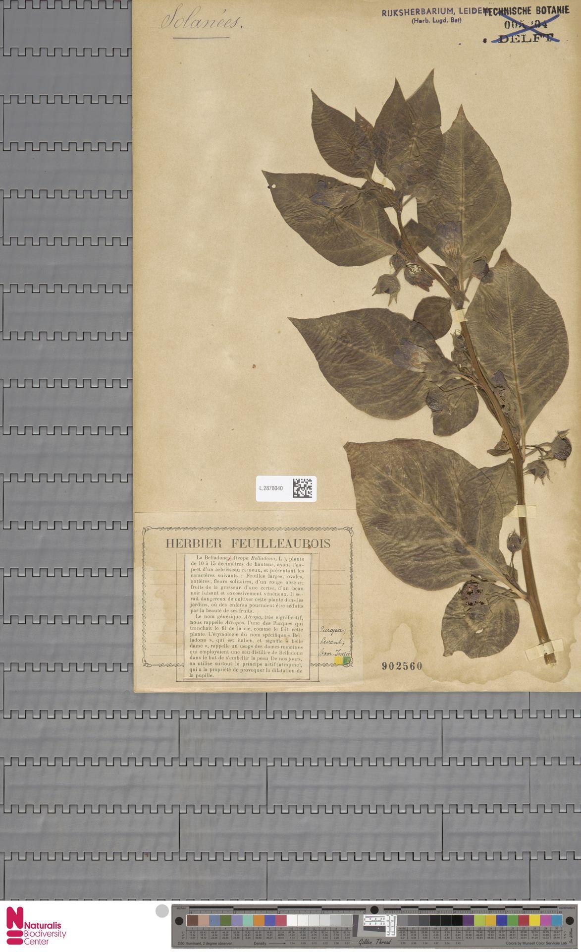 L.2876040 | Atropa belladonna L.
