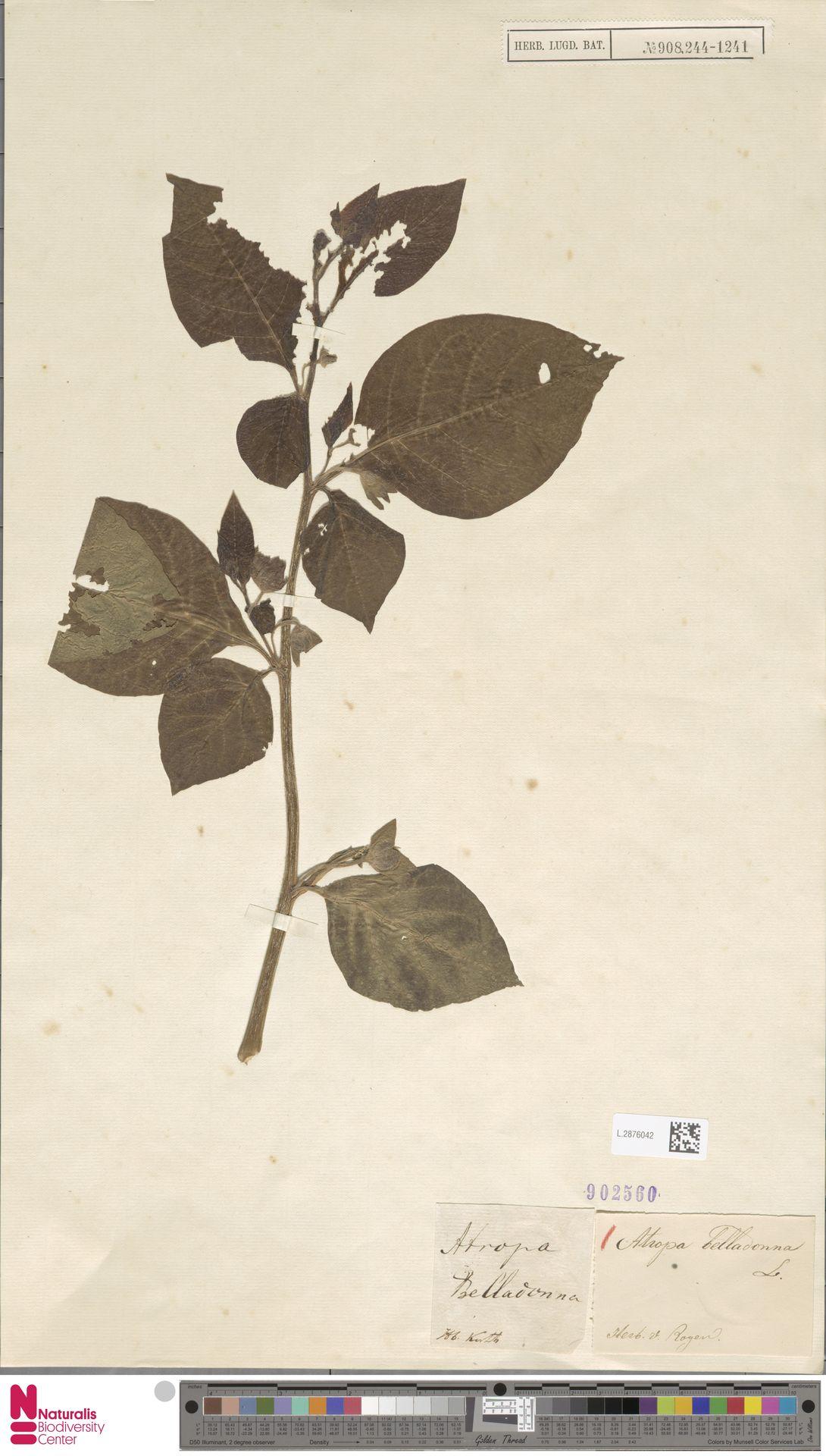 L.2876042 | Atropa belladonna L.