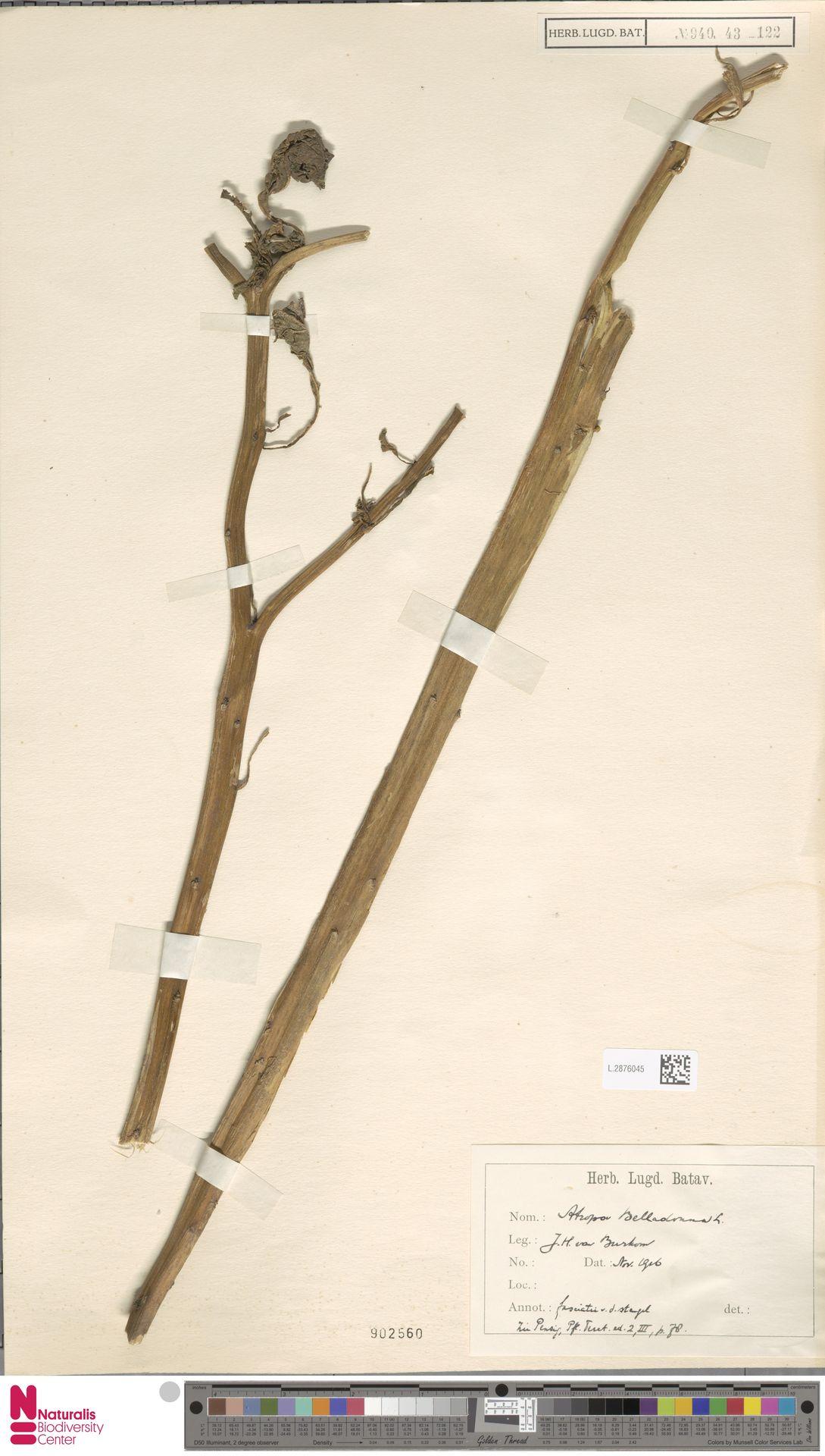 L.2876045 | Atropa belladonna L.